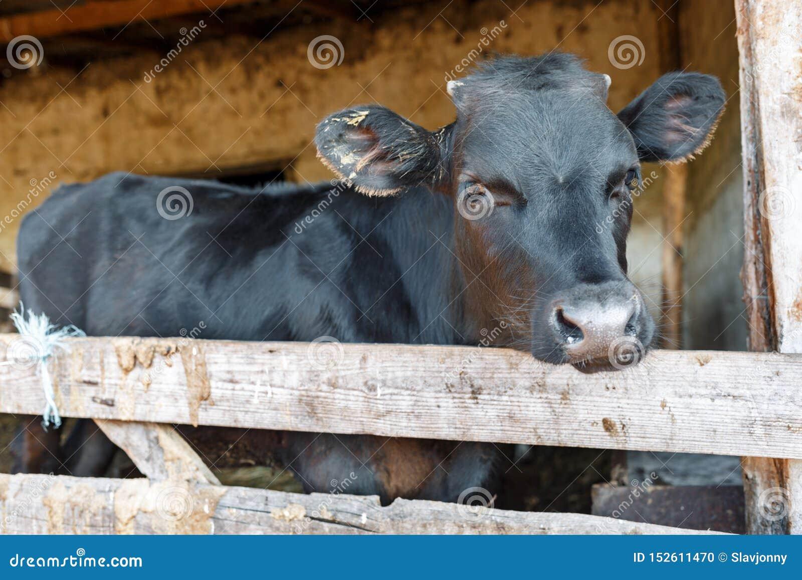 Retrato de uma vaca nova preta em uma tenda Fazenda de cria??o Ind?stria da carne