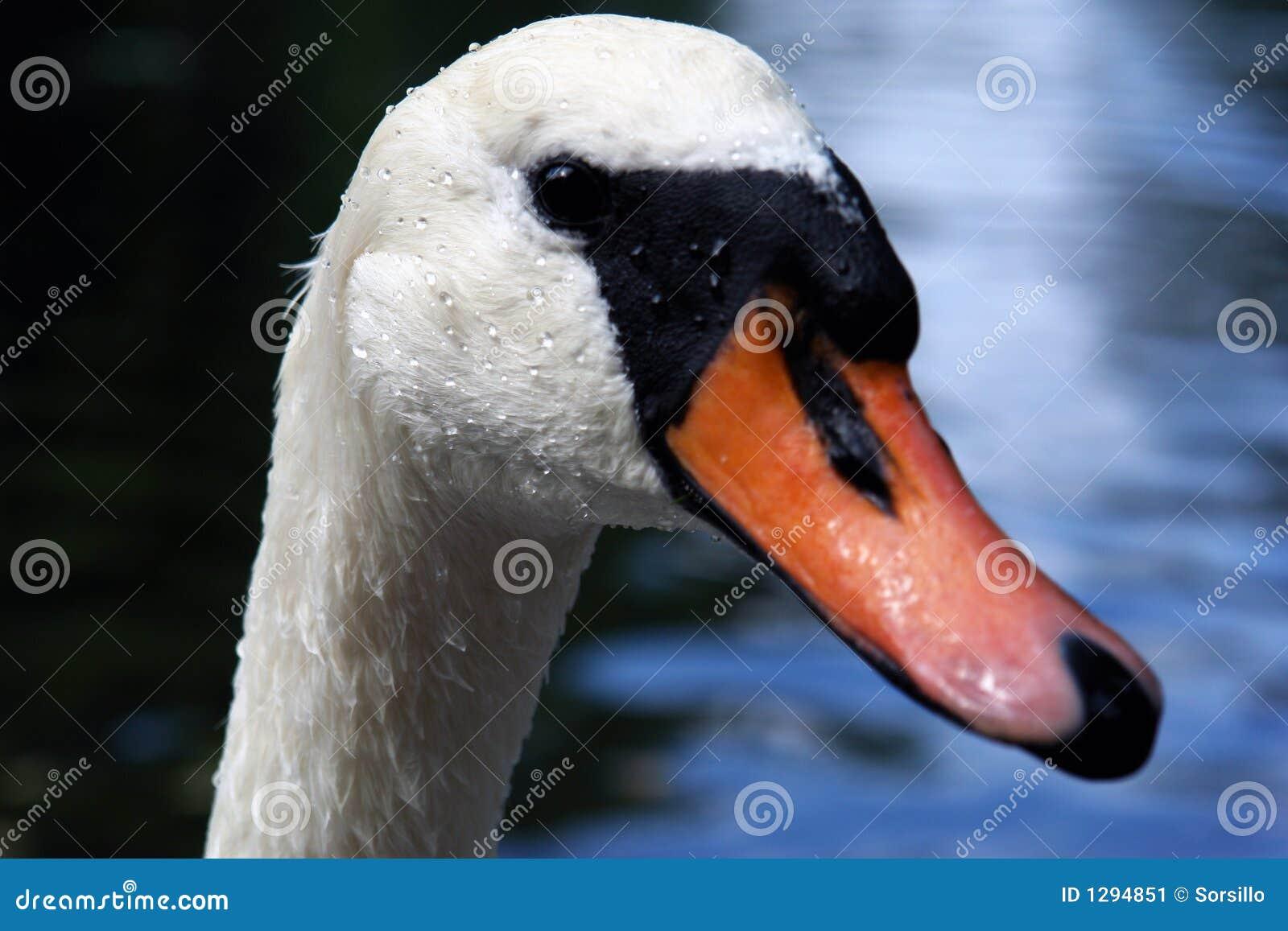 Retrato de un cisne