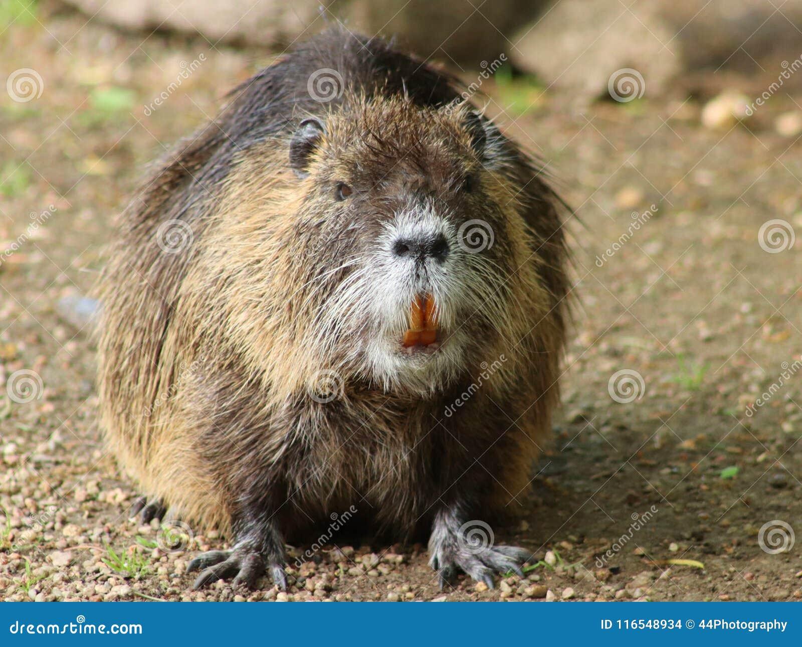 Retrato de un coypu grande, también conocido como el nutria