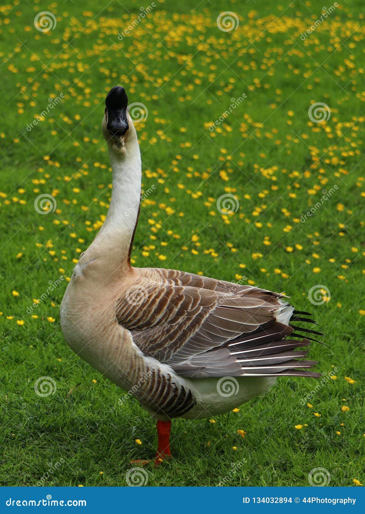 Retrato de un ganso chino marrón en un prado del ranúnculo en Alemania