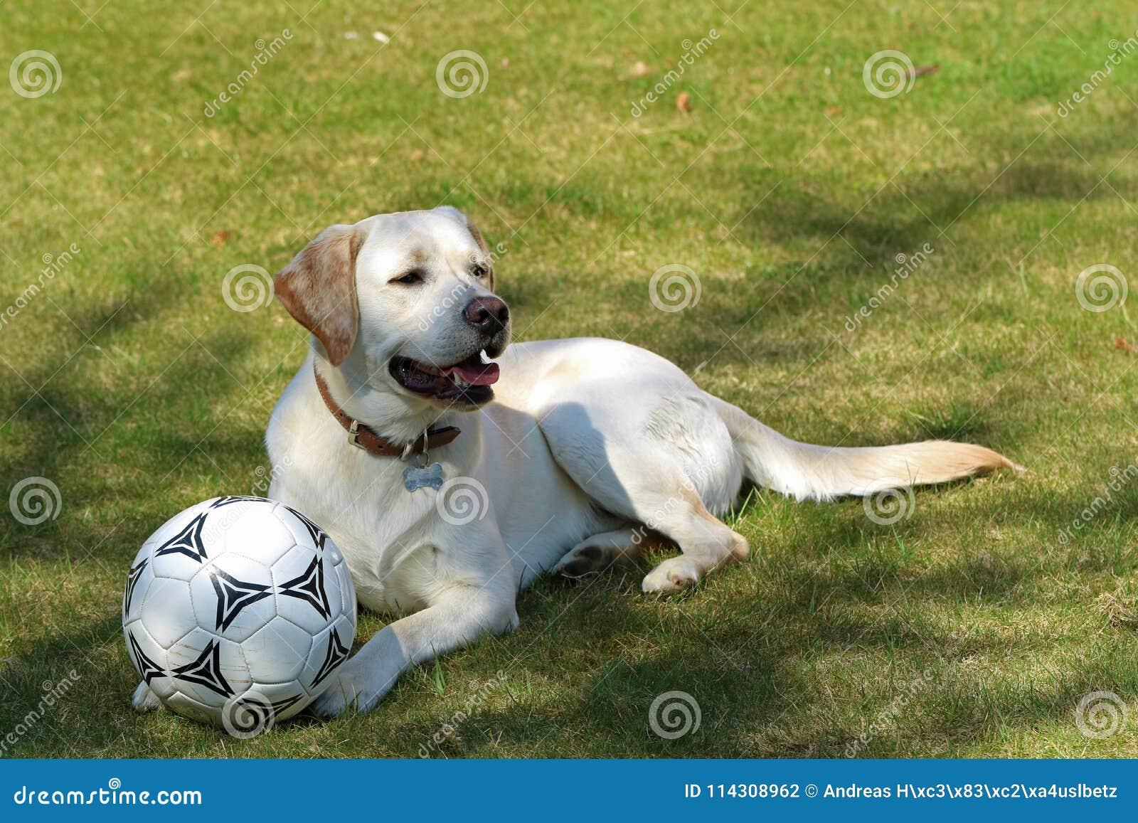 Retrato de un Labrador blanco con el balón de fútbol en la hierba