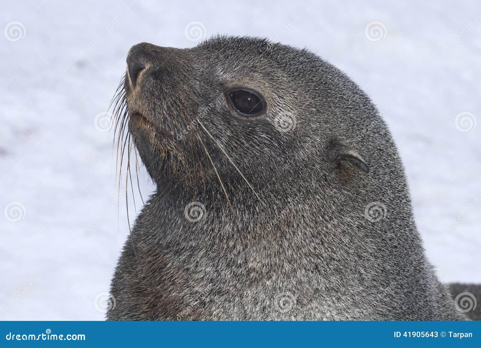 Retrato de un lobo marino masculino