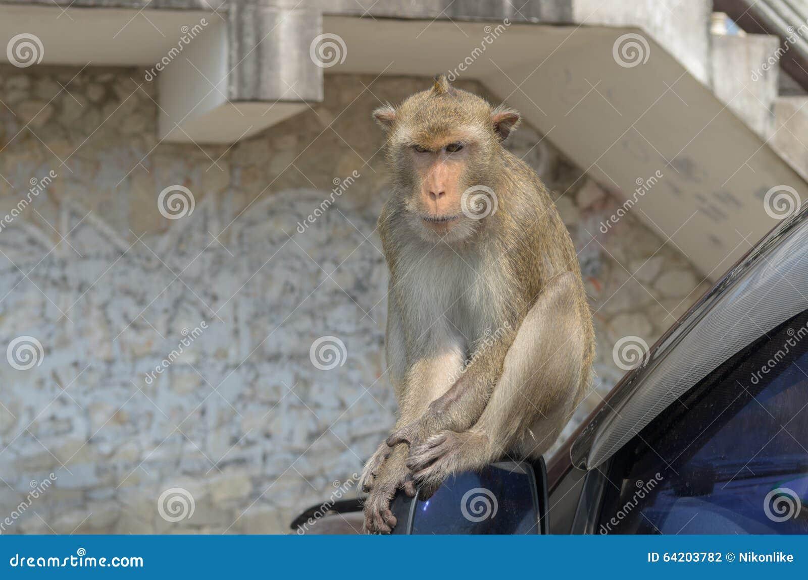 Retrato de un mono en el coche