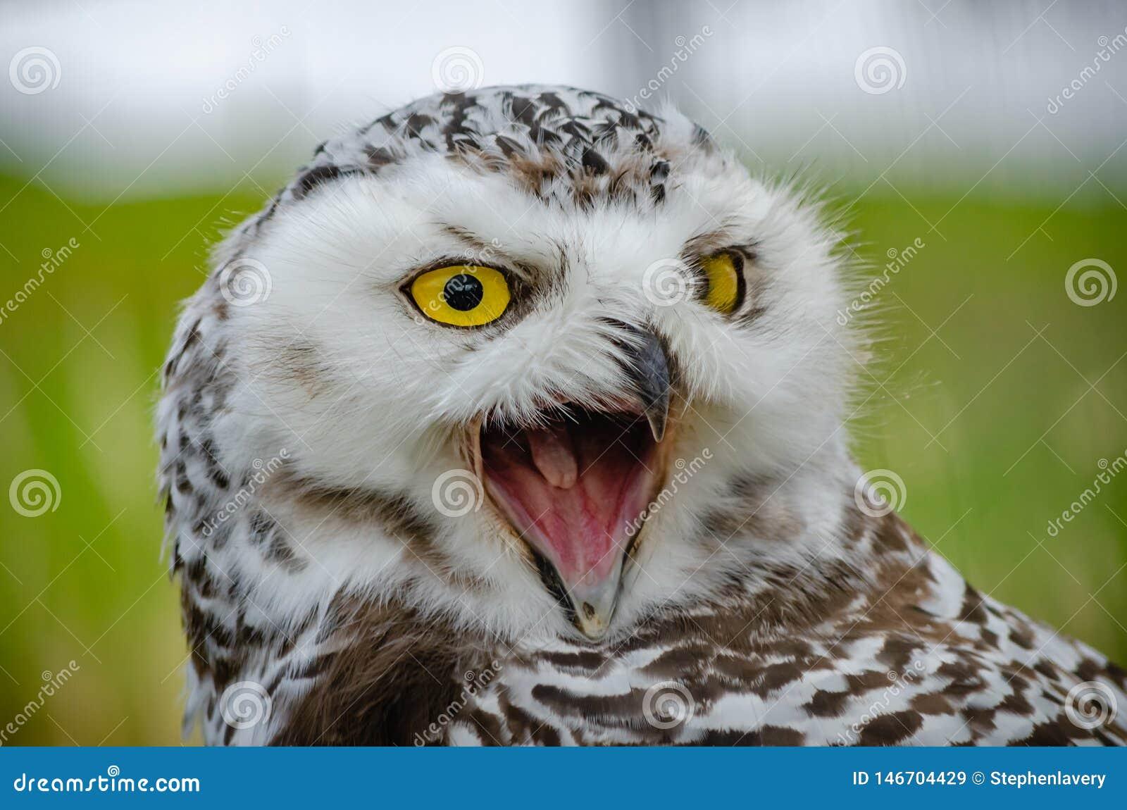 Retrato de un Nevado Owl Bubo Scandiacus