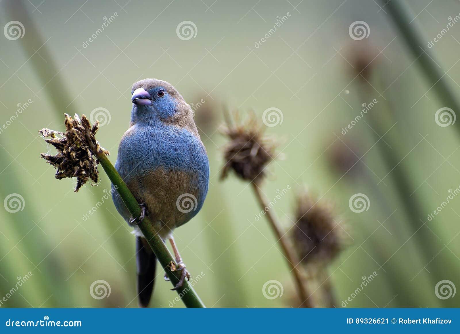 Retrato de un pájaro hermoso, africano, pequeño del color inusual que se sienta en una rama