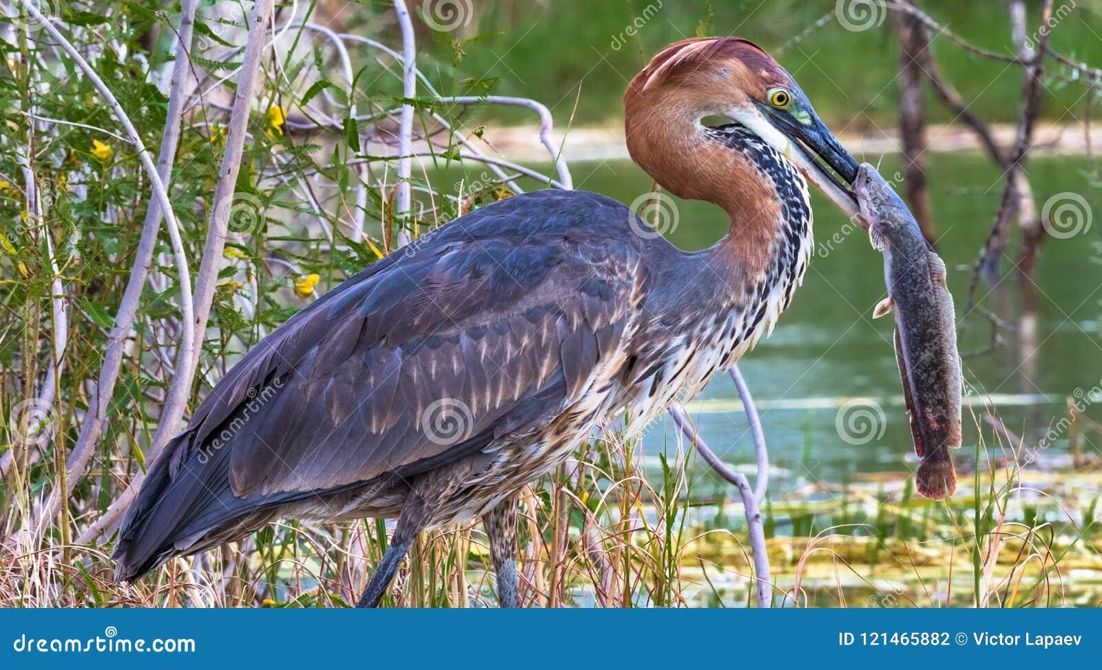 Retrato de un pájaro satisfecho Garza de Goliat con los pescados Lago Baringo, Kenia