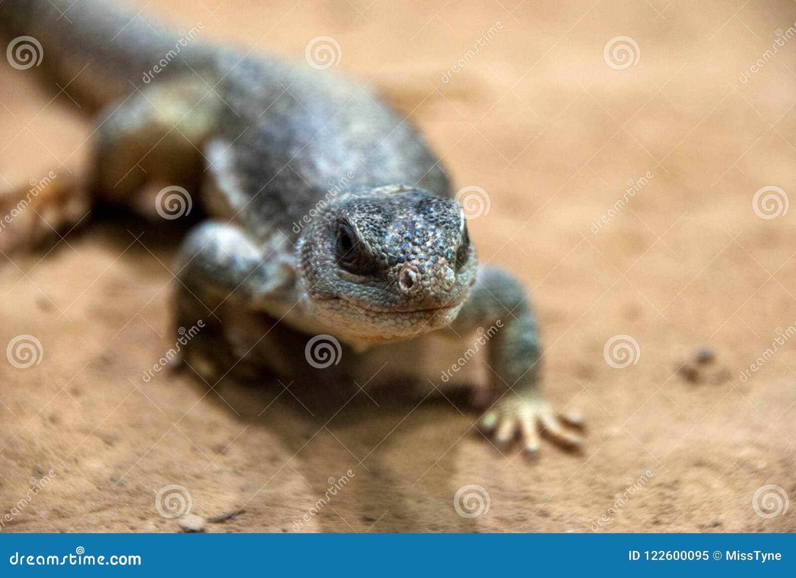 Retrato de un pequeño lagarto que da une vuelta