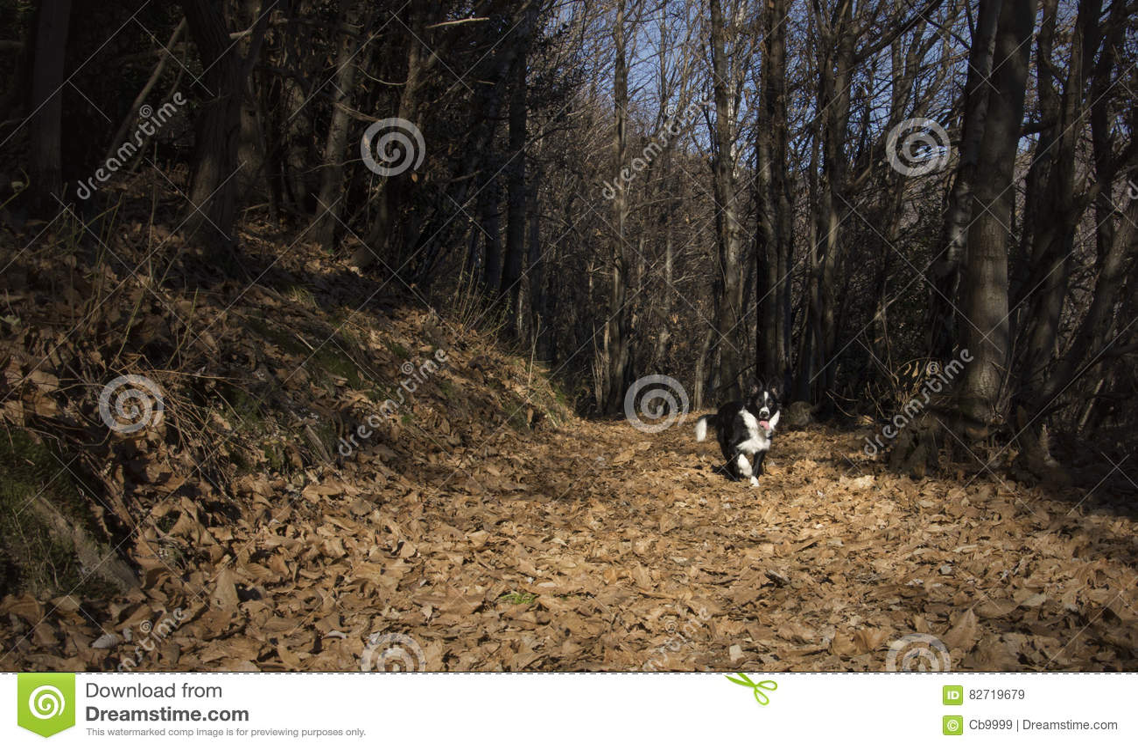 Retrato de un perrito del border collie en el bosque
