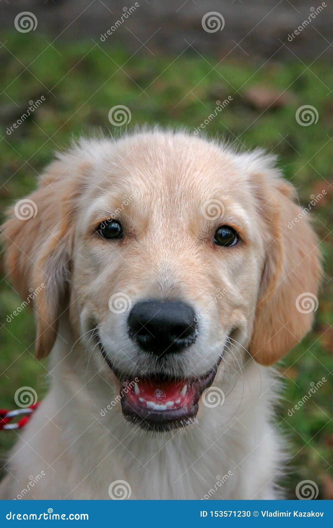Retrato de un perrito del perro del golden retriever El perro es haber contentado feliz y sonrisas