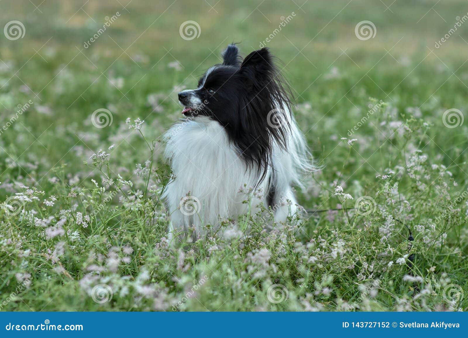 Retrato de un perro criado en línea pura de Papillon en la hierba