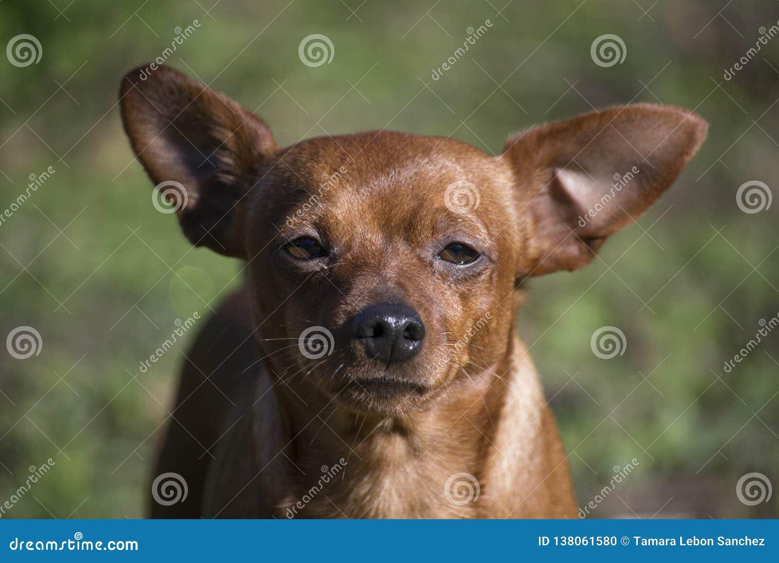 Retrato de un perro enano del Pinscher mientras que toma el sol