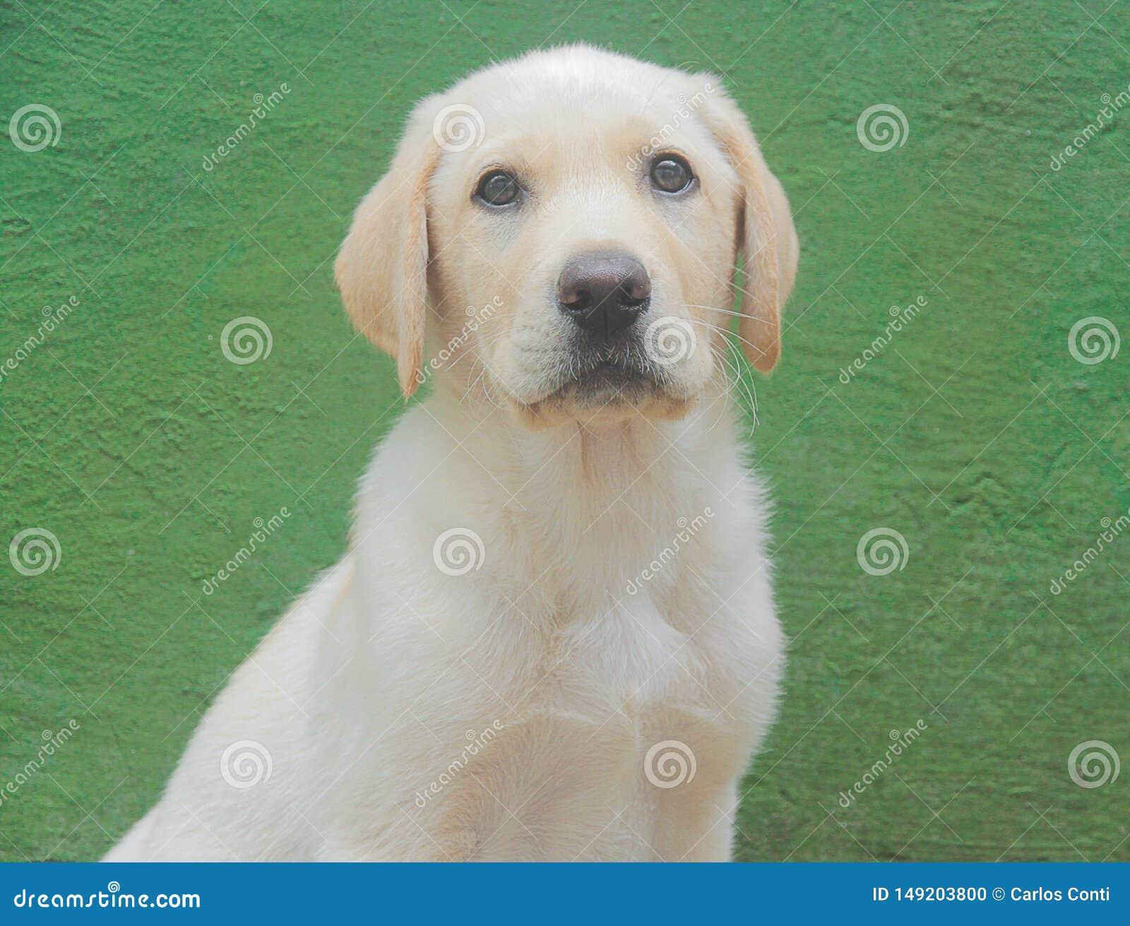 Retrato de un perro de Labrador
