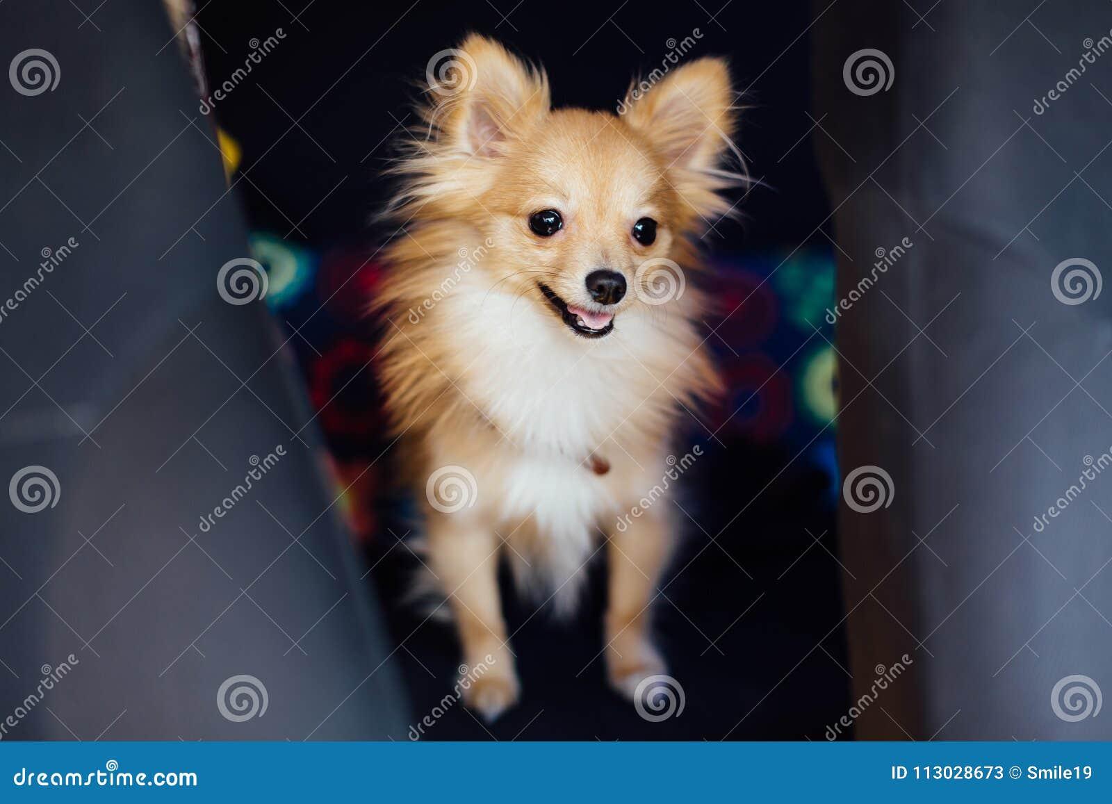 Retrato de un perro de Pomerania-perro lindo en el asiento de carro