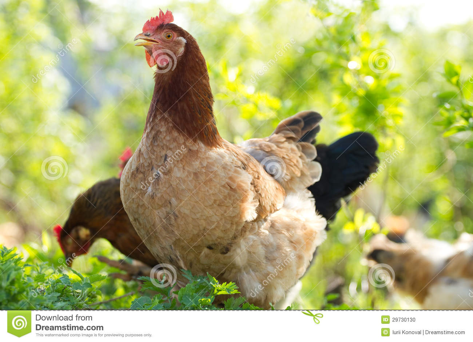 Pollo del retrato