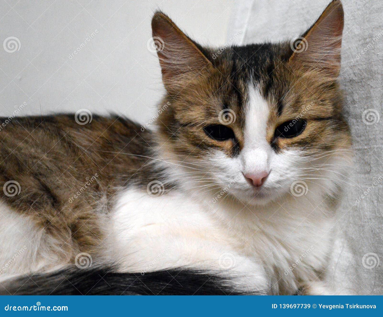 Retrato de un primer tricolor soñoliento encantador del gatito