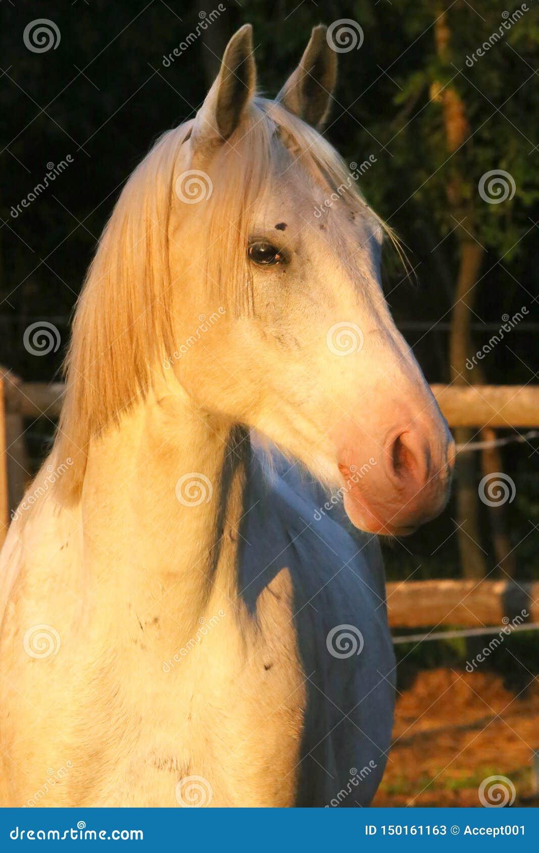 Retrato de un semental árabe gris criado en línea pura Primer de un caballo criado en l?nea pura joven Caballo árabe del shagya j