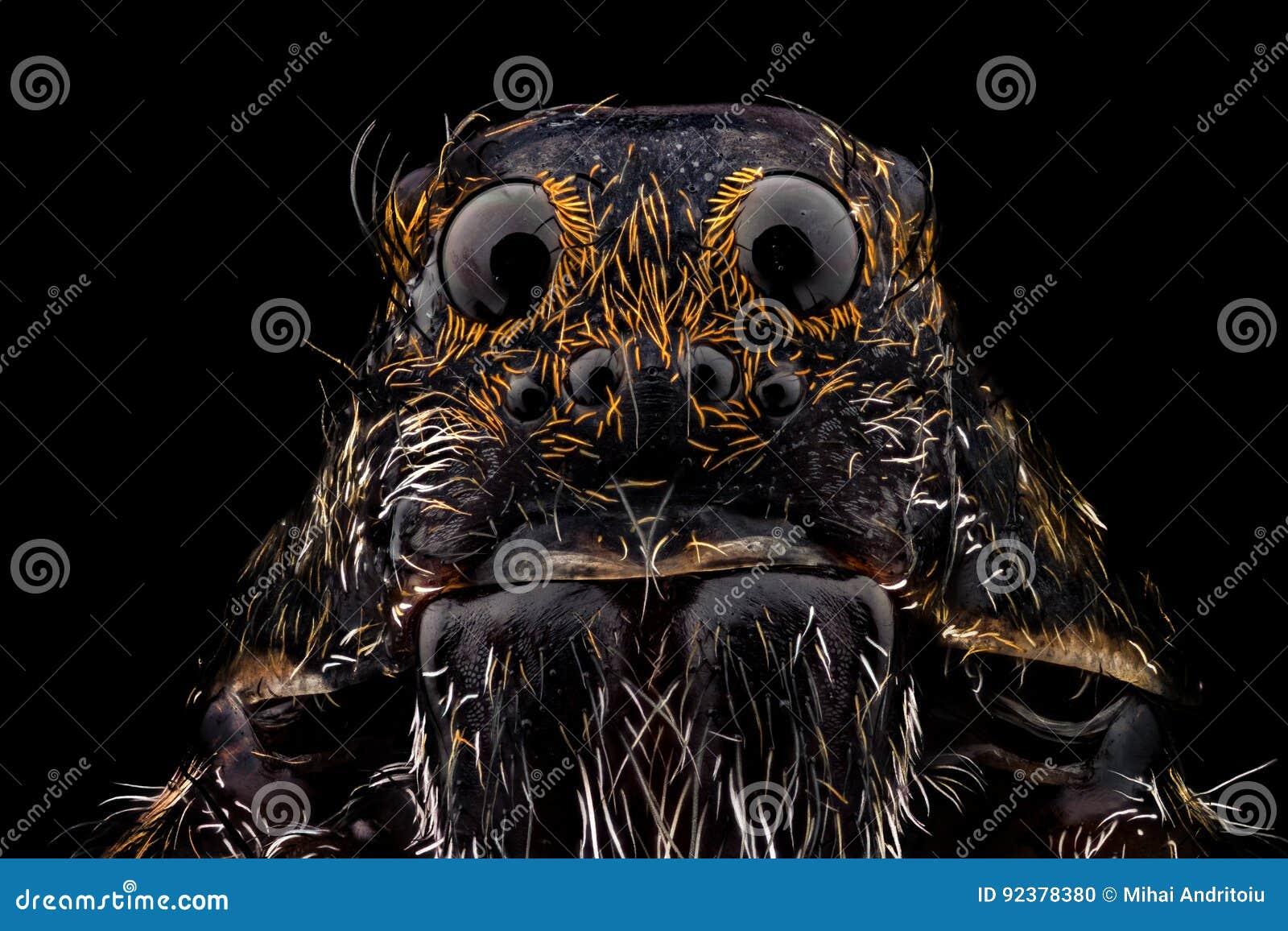 Retrato de una araña de lobo