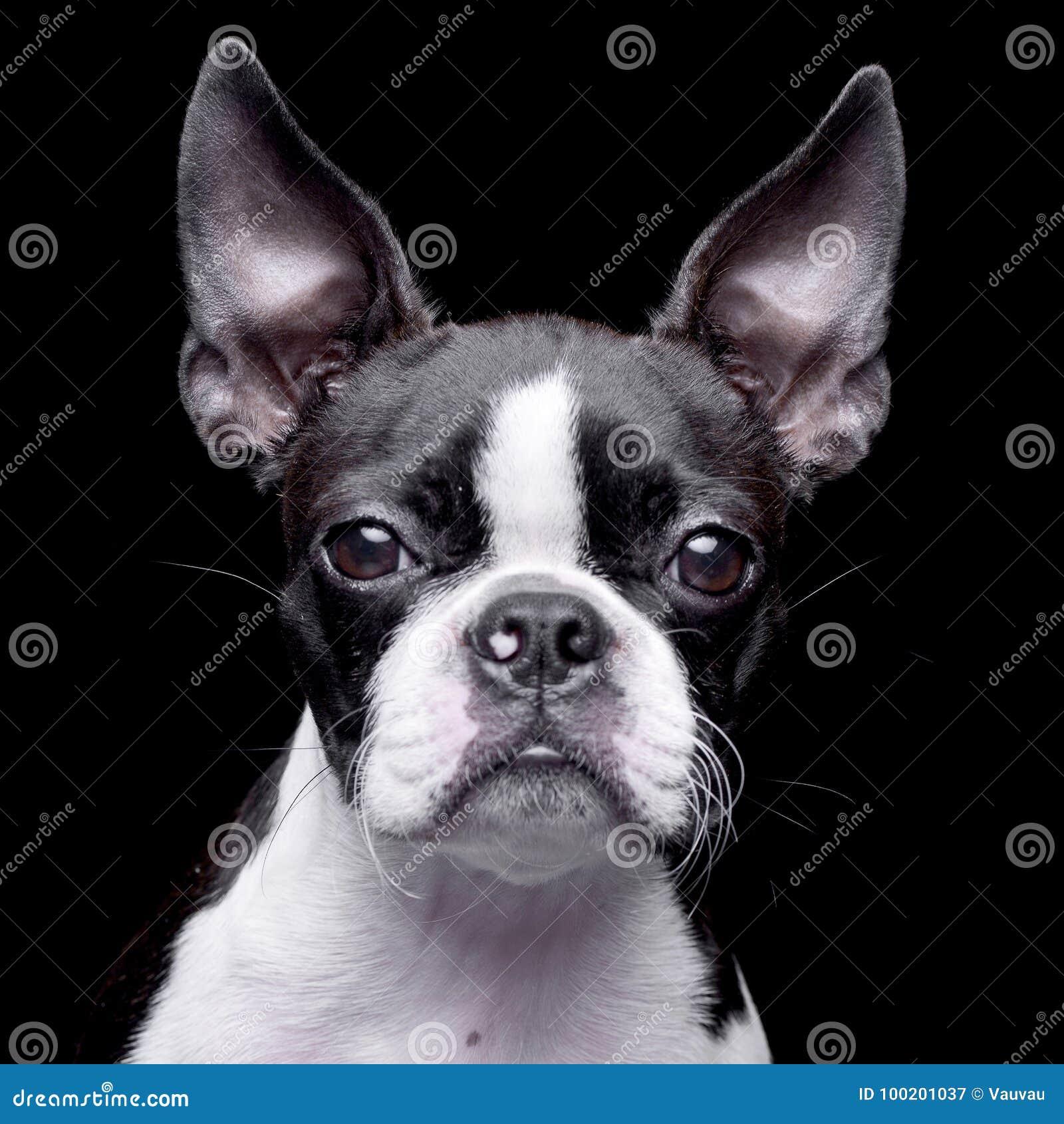 Retrato De Una Boston Adorable Terrier Imagen de archivo - Imagen de ...