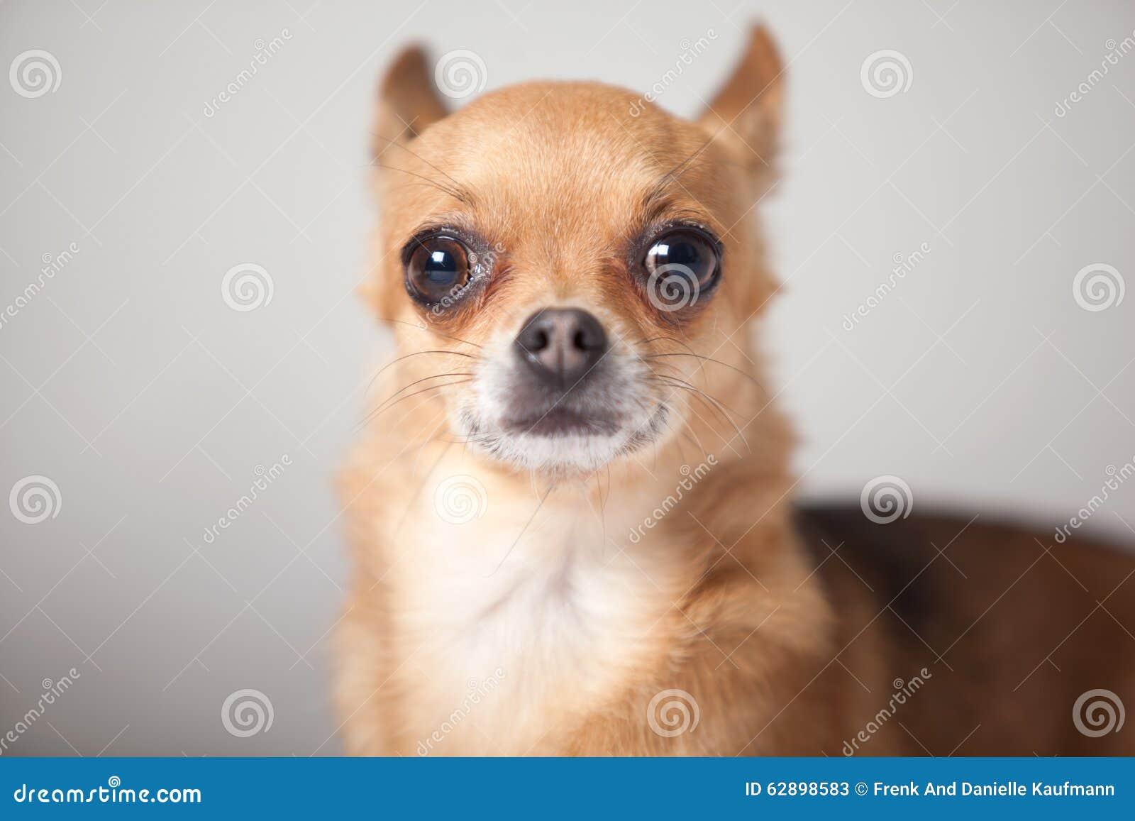 Retrato de una chihuahua