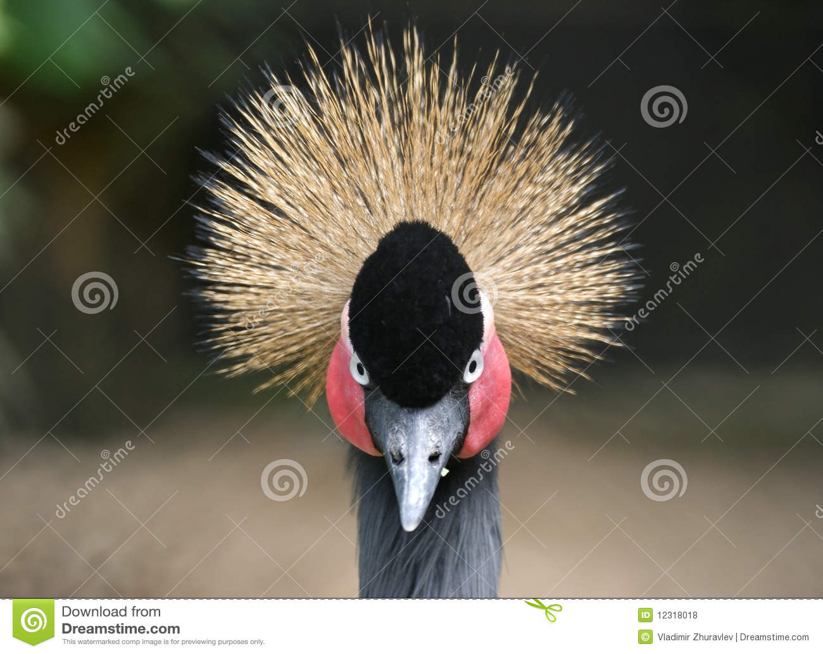 Retrato de una grúa coronada
