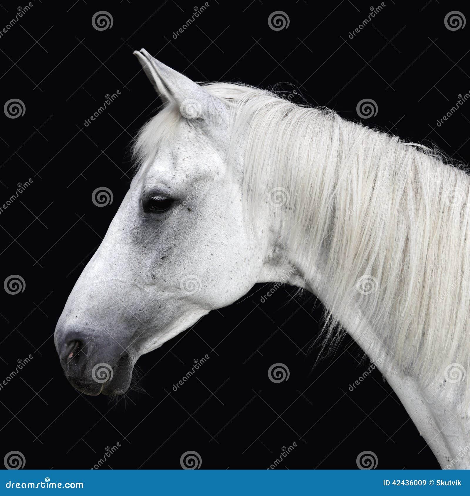 Download Retrato del caballo blanco imagen de archivo. Imagen de animal - 42436009