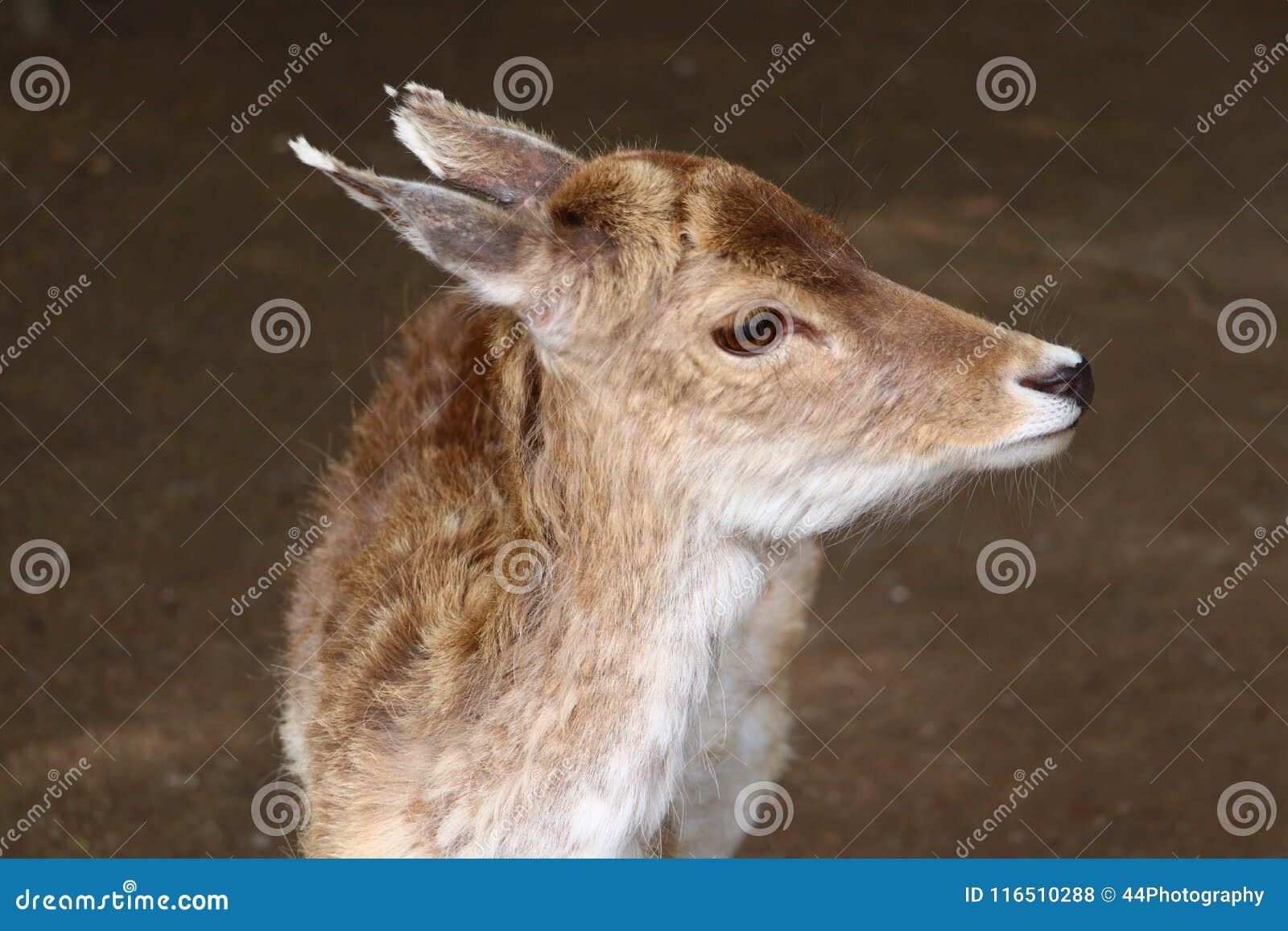 Retrato del Cervidae de los ciervos en barbecho