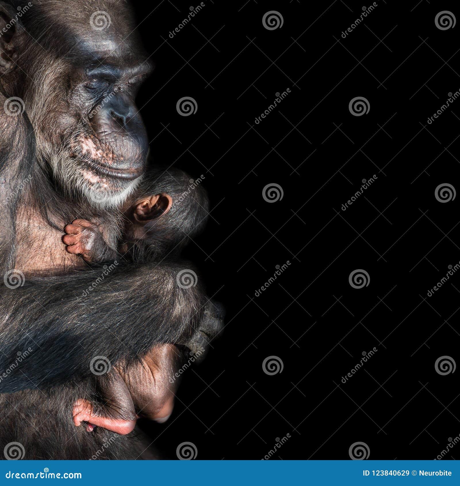 Retrato del chimpancé de la madre con su pequeño bebé divertido en el negro