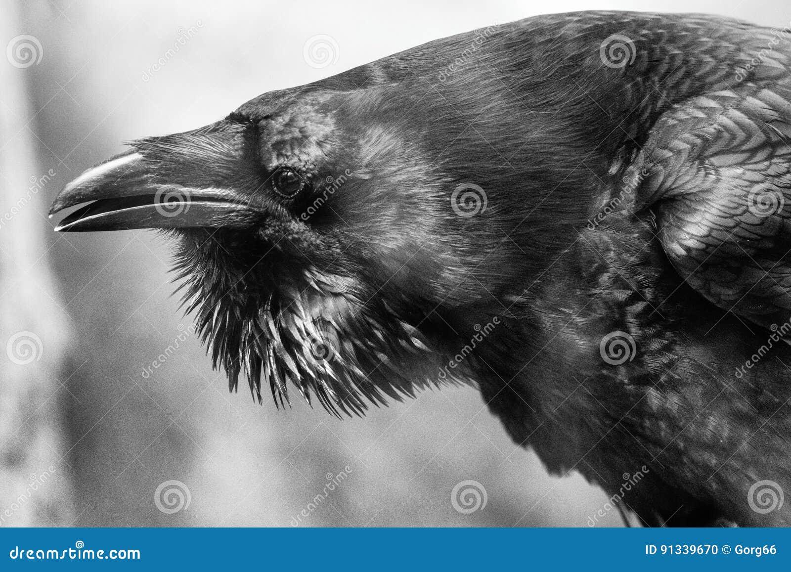 Retrato del cuervo