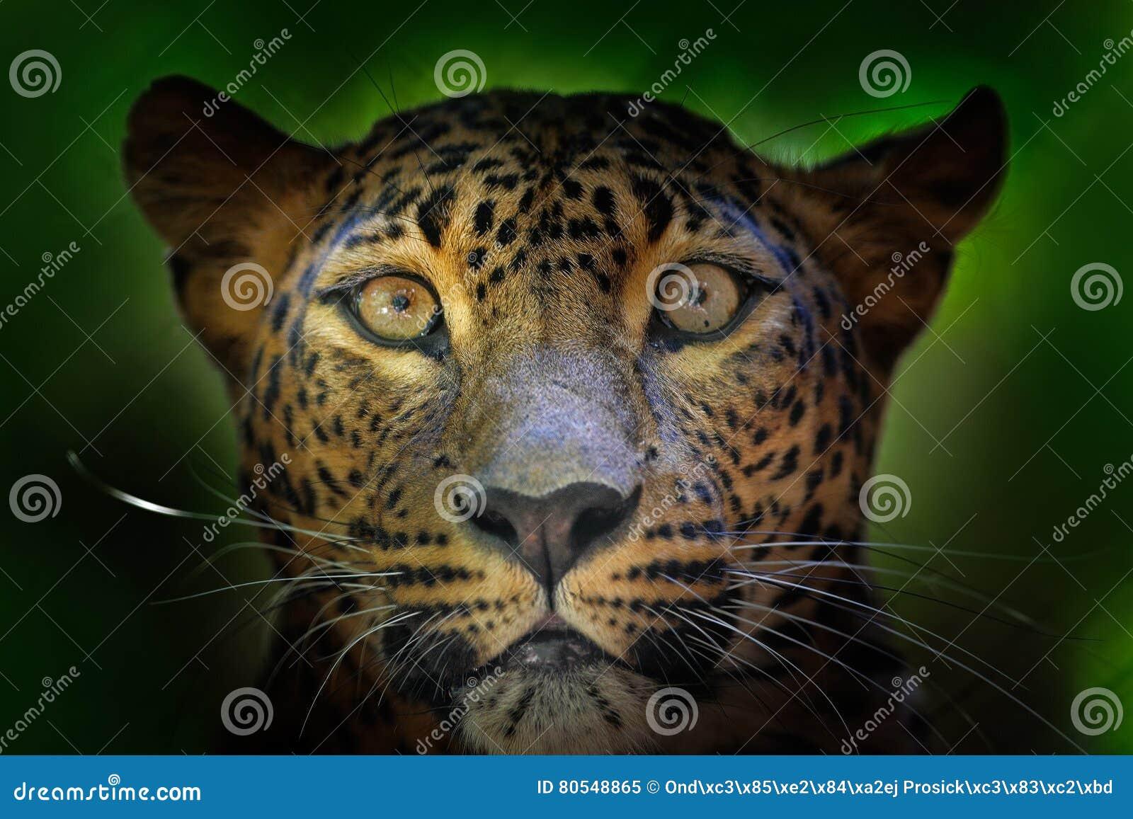 Retrato del detalle del gato salvaje Leopardo srilanqués, kotiya del pardus del Panthera, gato manchado grande que miente en el á