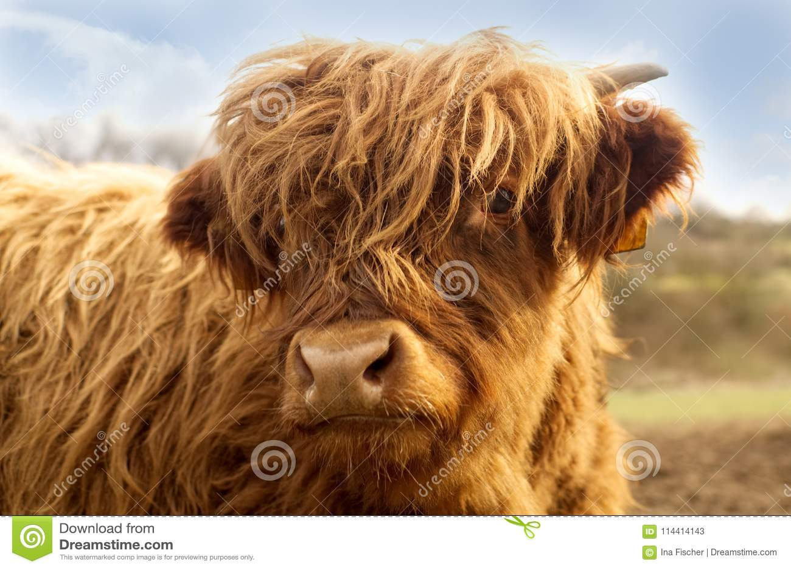 Retrato del ganado lindo de una montaña