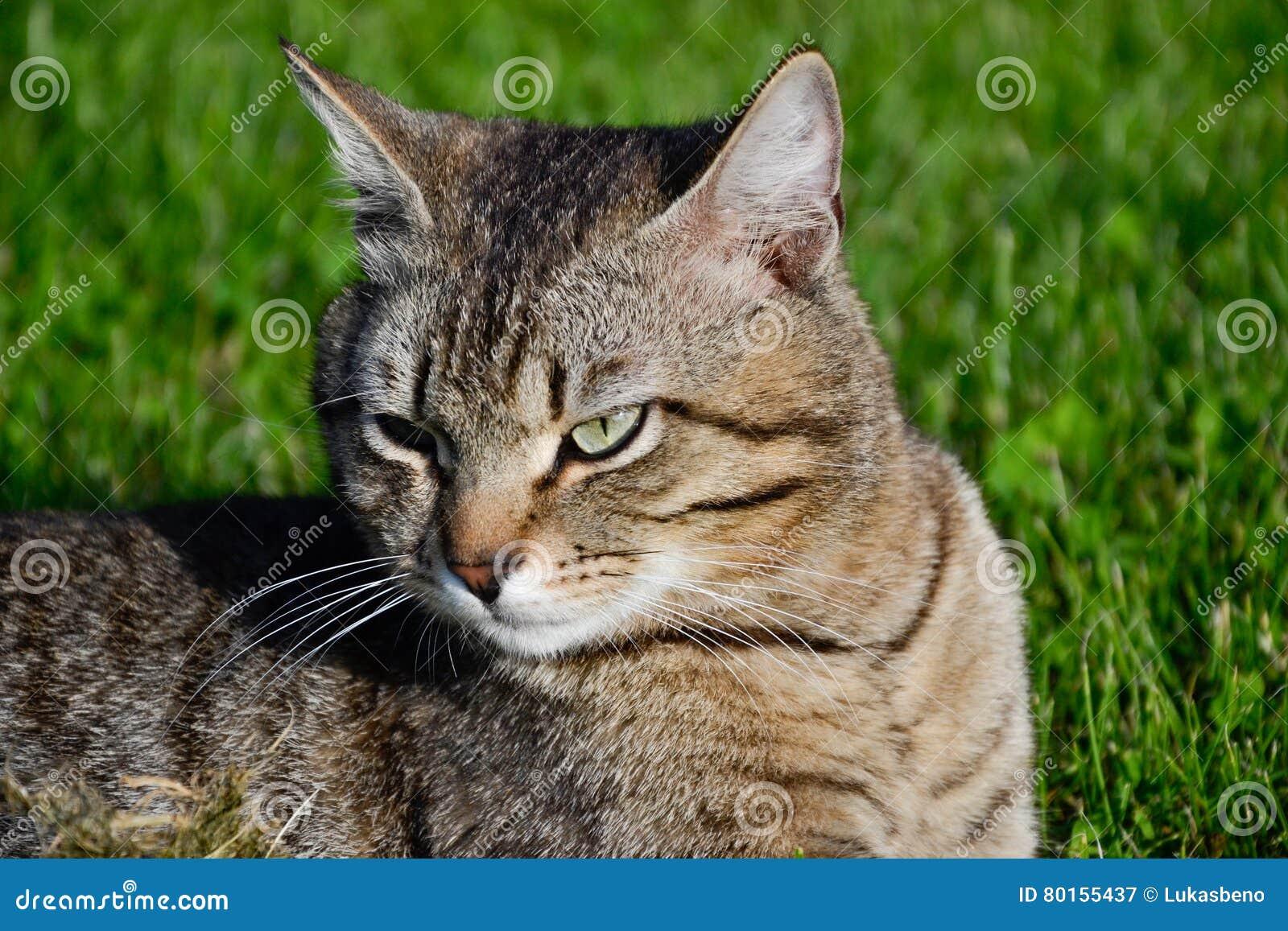 Retrato del gato de gato atigrado de pelo corto nacional que miente en la hierba Tomcat que se relaja en jardín