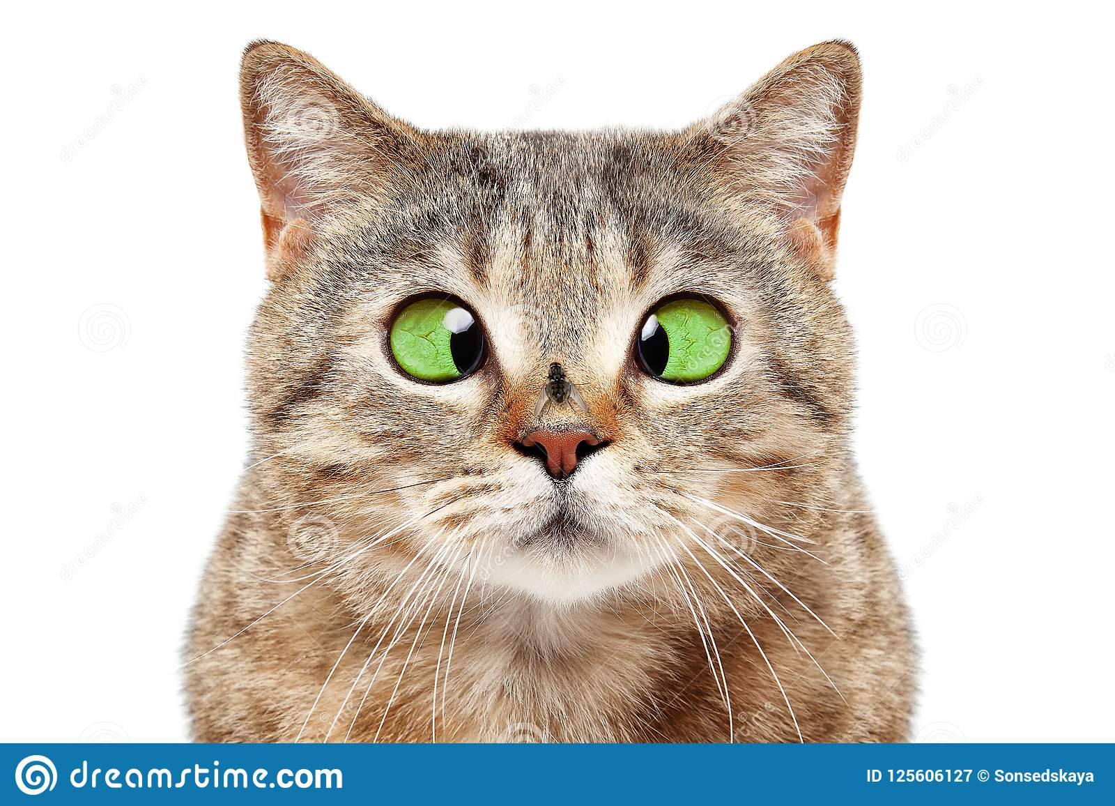 Retrato del gato divertido con una mosca en su nariz