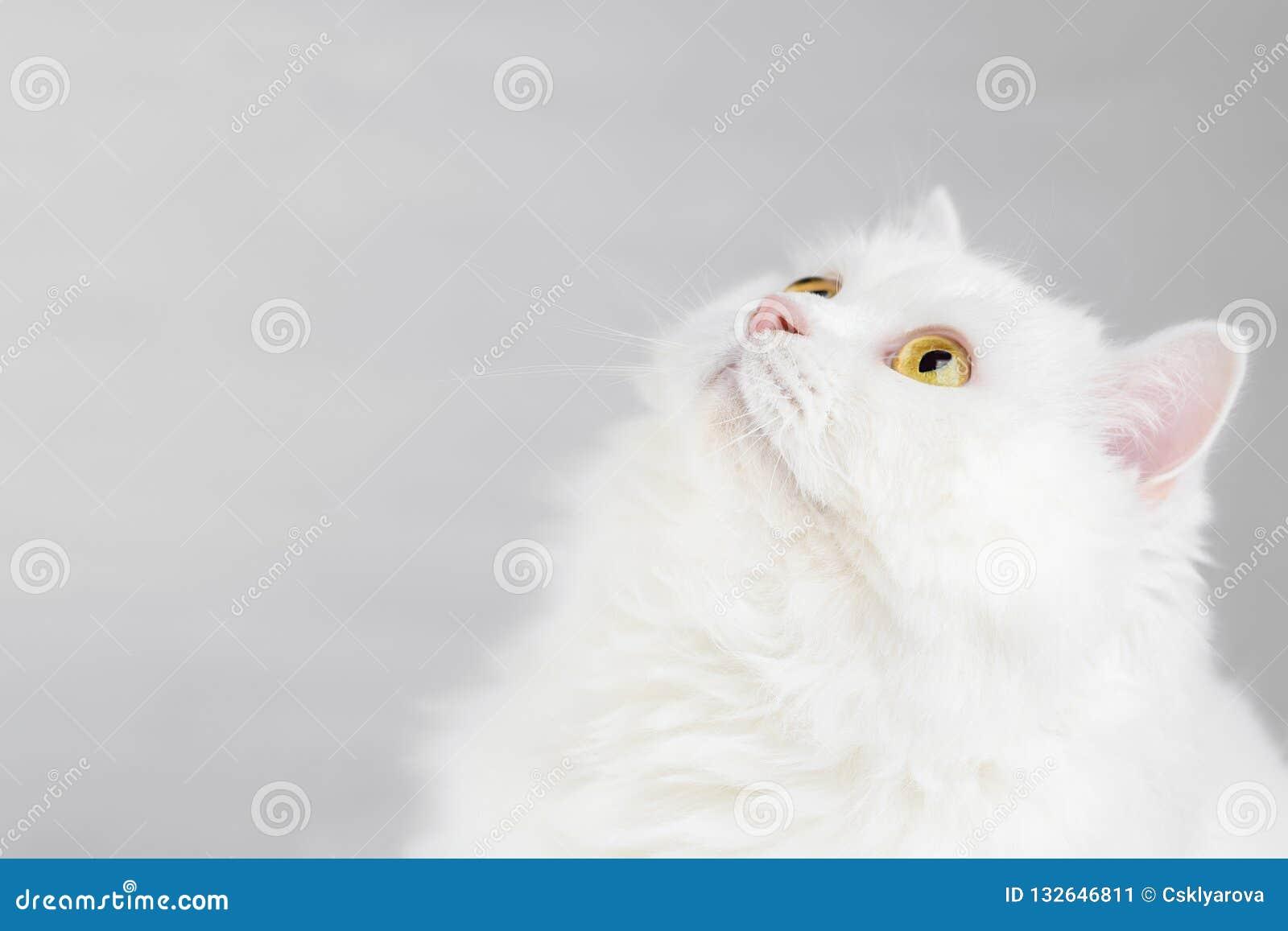 Retrato del gato escocés recto de la montaña blanca nacional mullida aislado en el fondo blanco del estudio Gatito lindo o