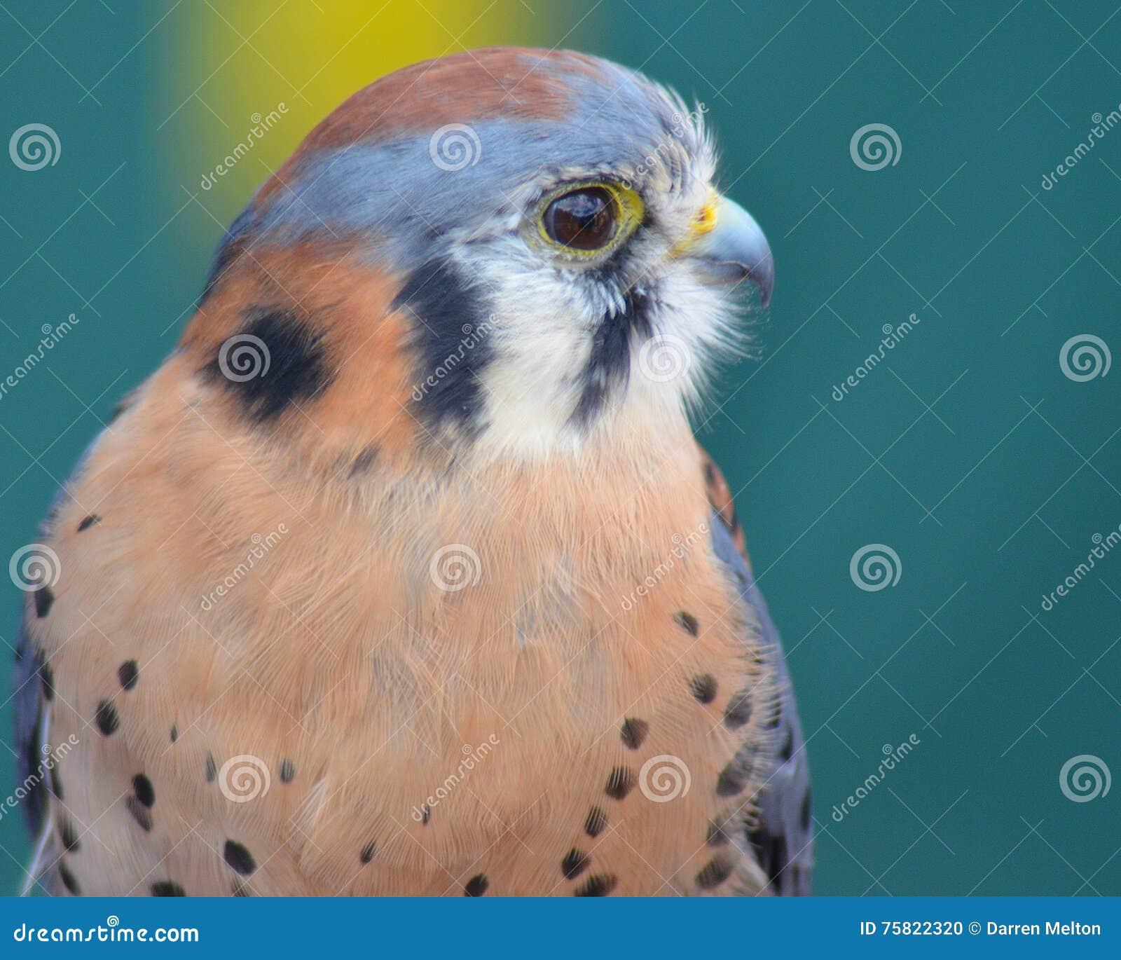 Retrato del halcón del cernícalo