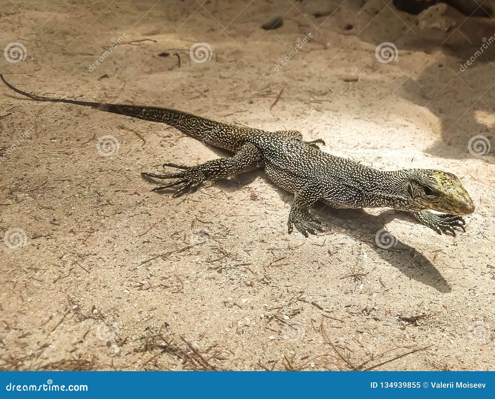 Retrato del lagarto de monitor vivo, varan en la tierra de la arena, Tailandia
