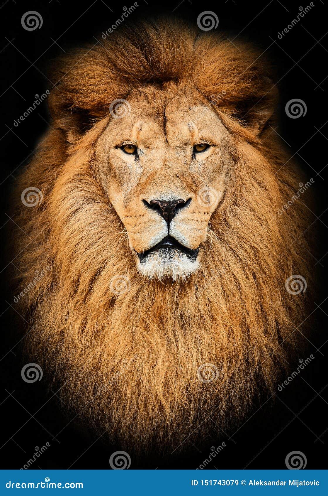 Retrato del león africano masculino hermoso enorme contra fondo negro