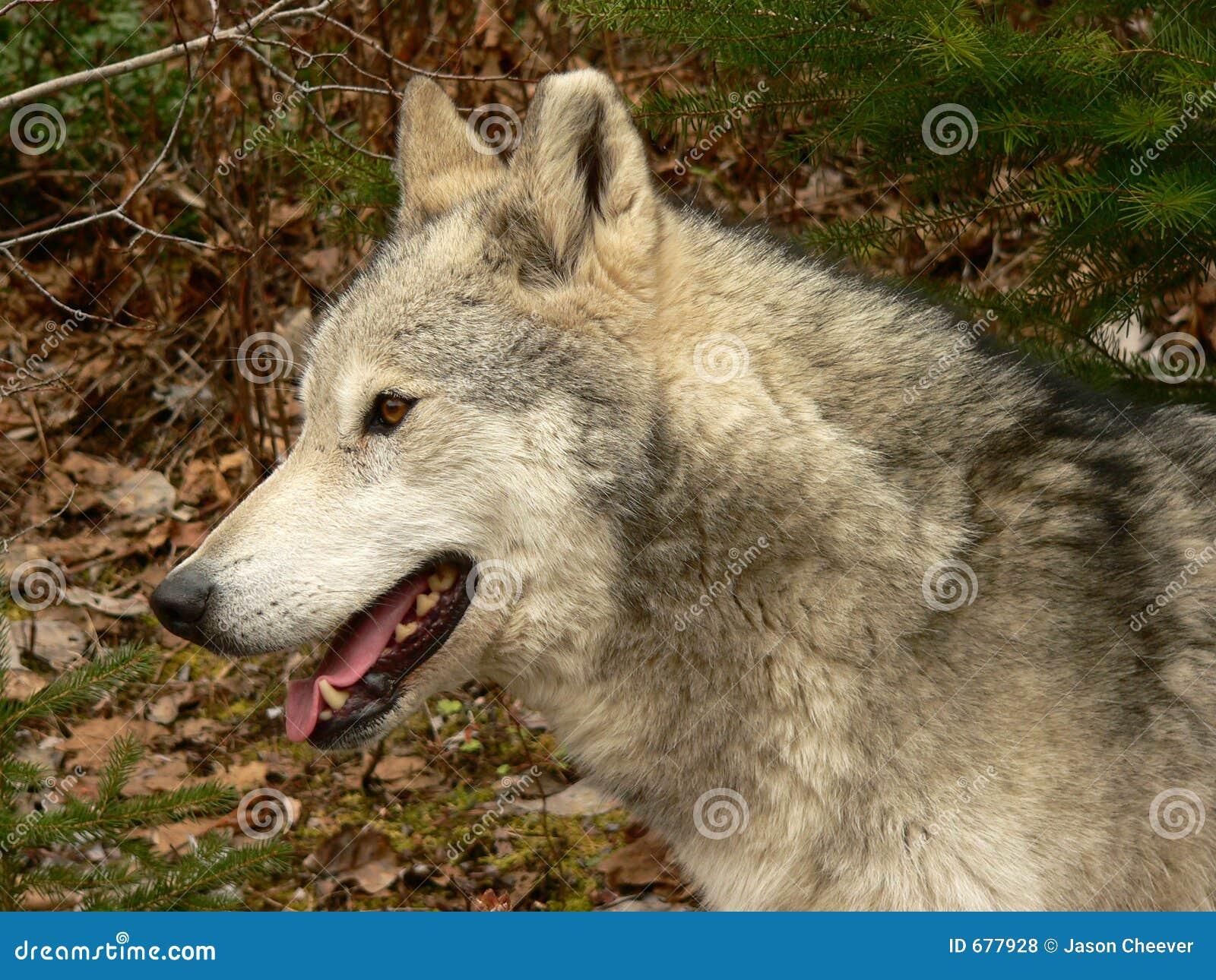 Retrato del lobo