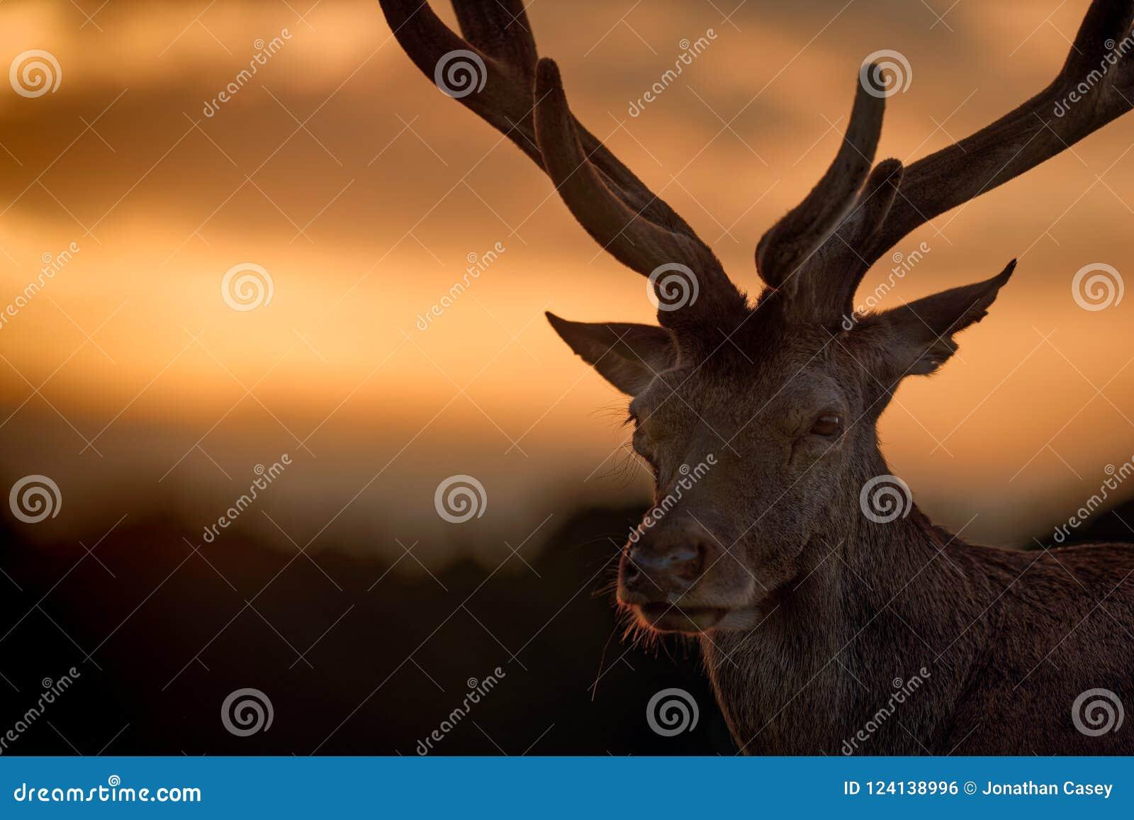 Retrato del macho de los ciervos comunes en la puesta del sol
