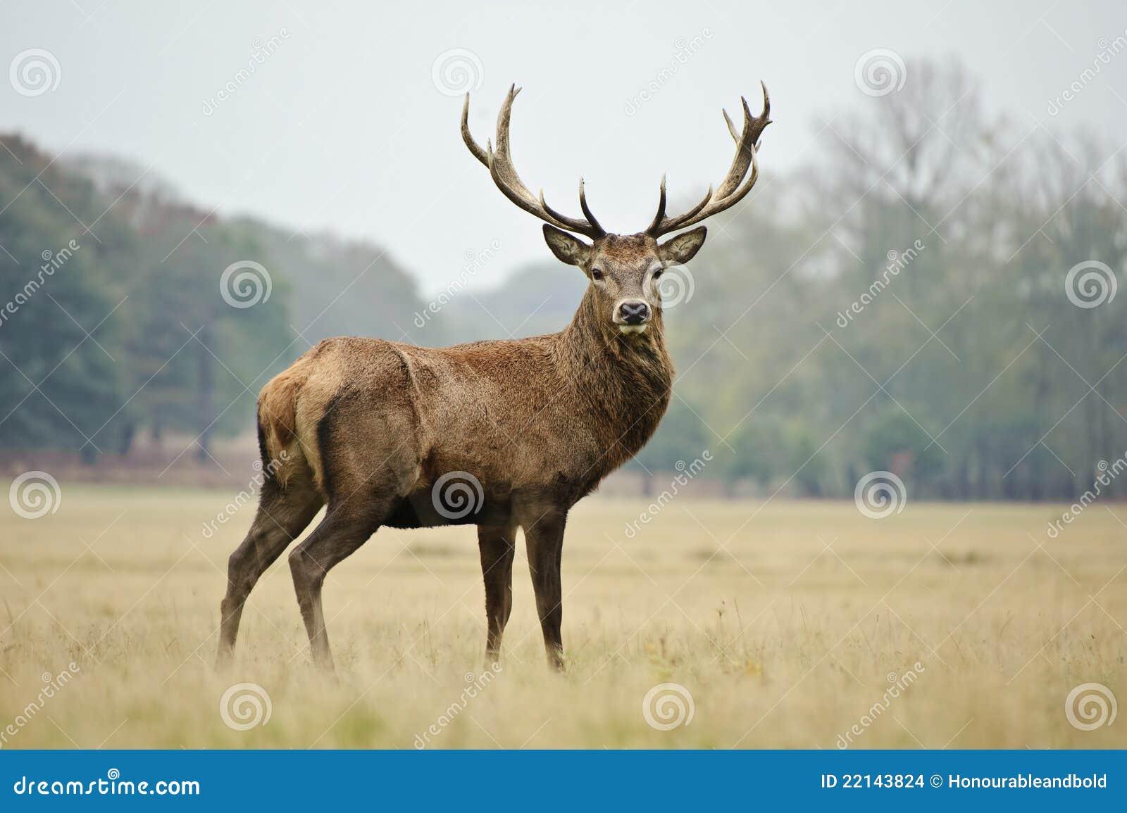 Retrato del macho majestuoso de los ciervos rojos en caída del otoño