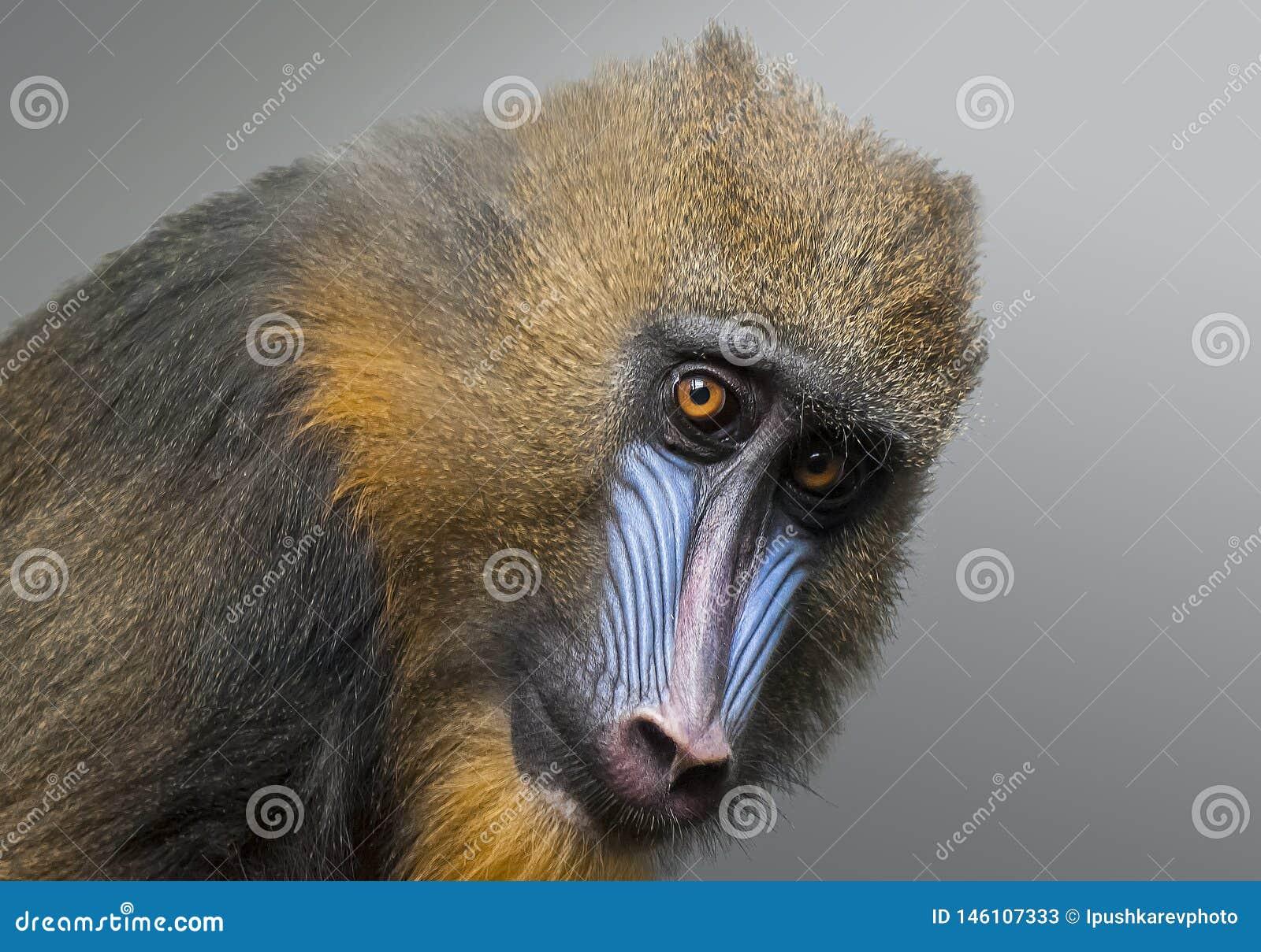 Retrato del mandril, esfinge del Mandrillus, primate de la familia del mono del Viejo Mundo
