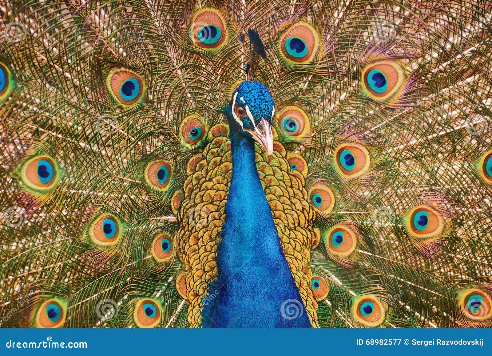 Retrato del pavo real