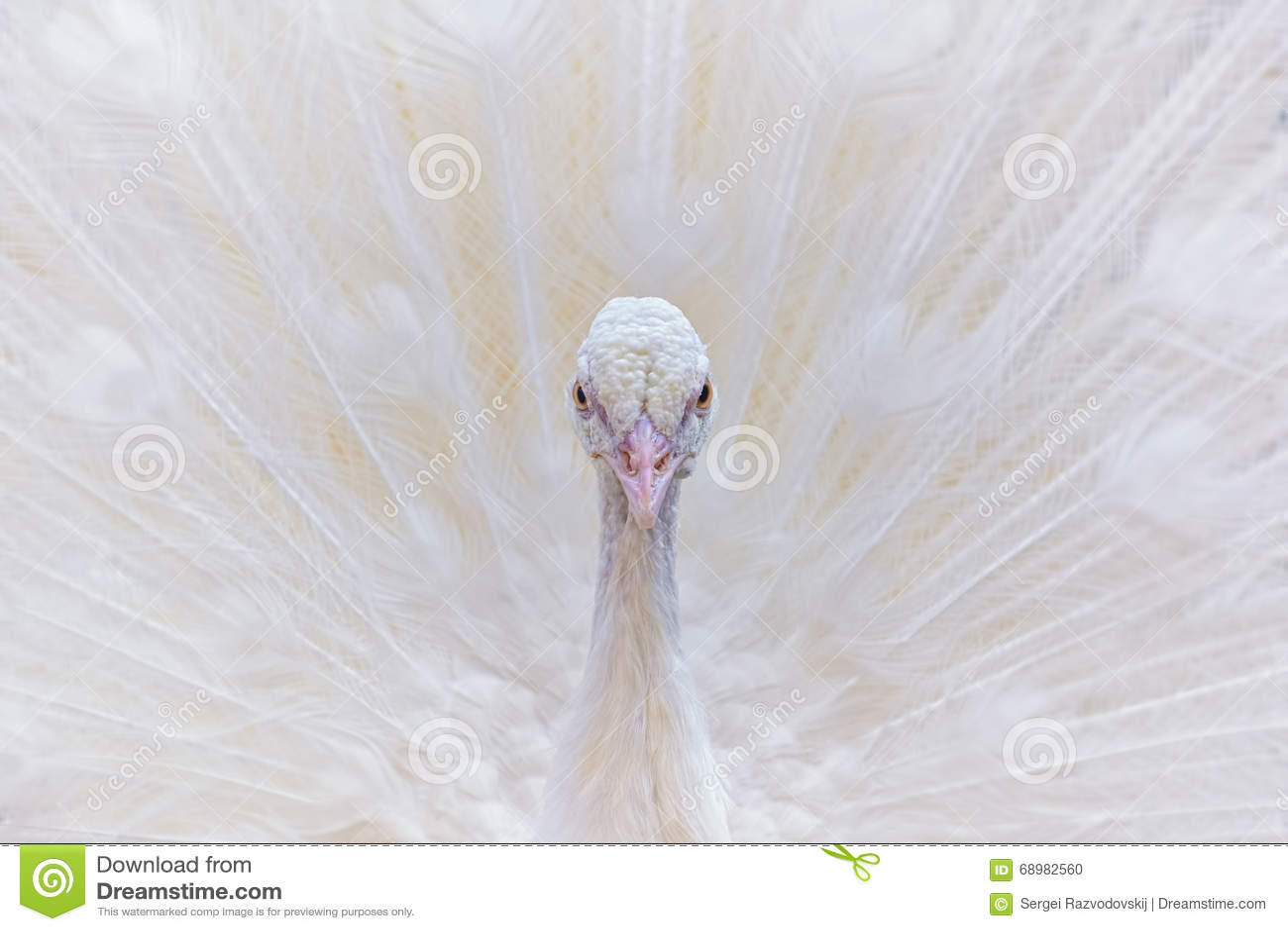 Retrato del pavo real blanco
