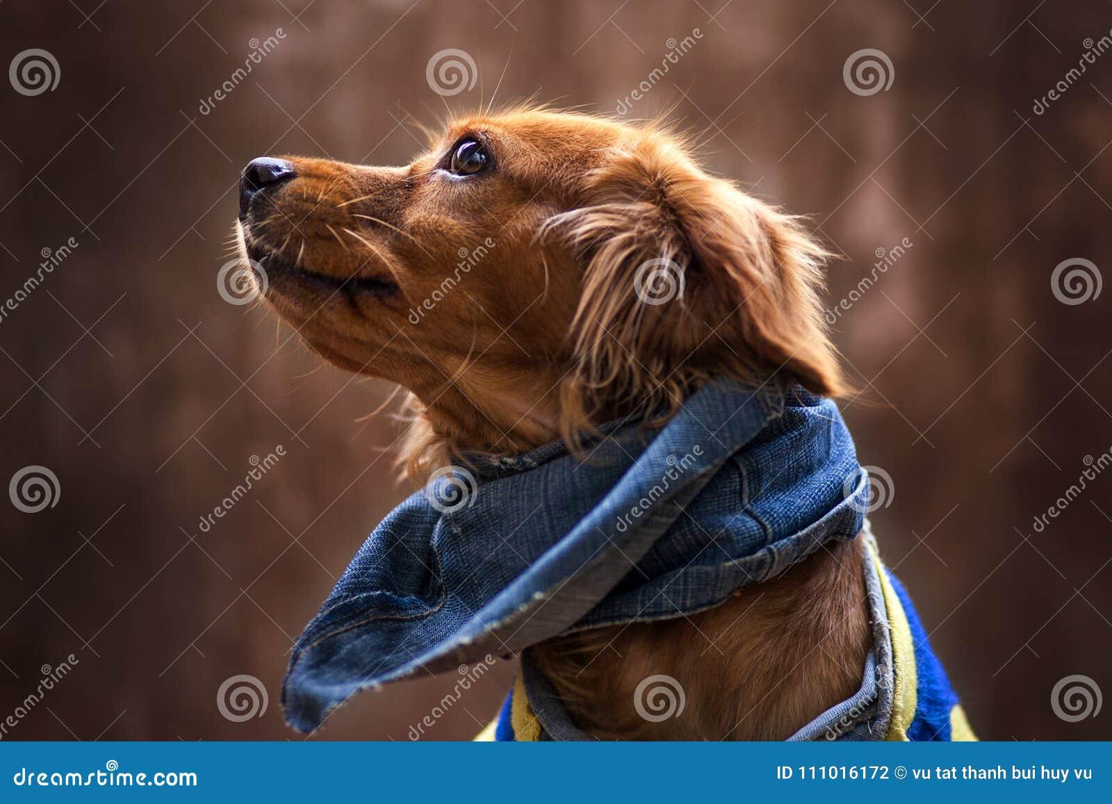 Retrato del perrito de oro Perrito con mezclilla de la bufanda