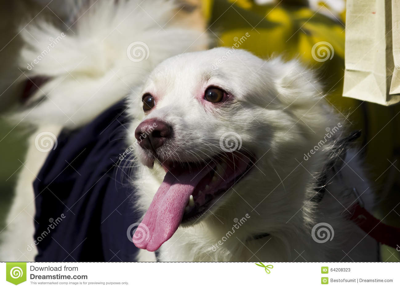 Retrato del perro alemán del perro de Pomerania