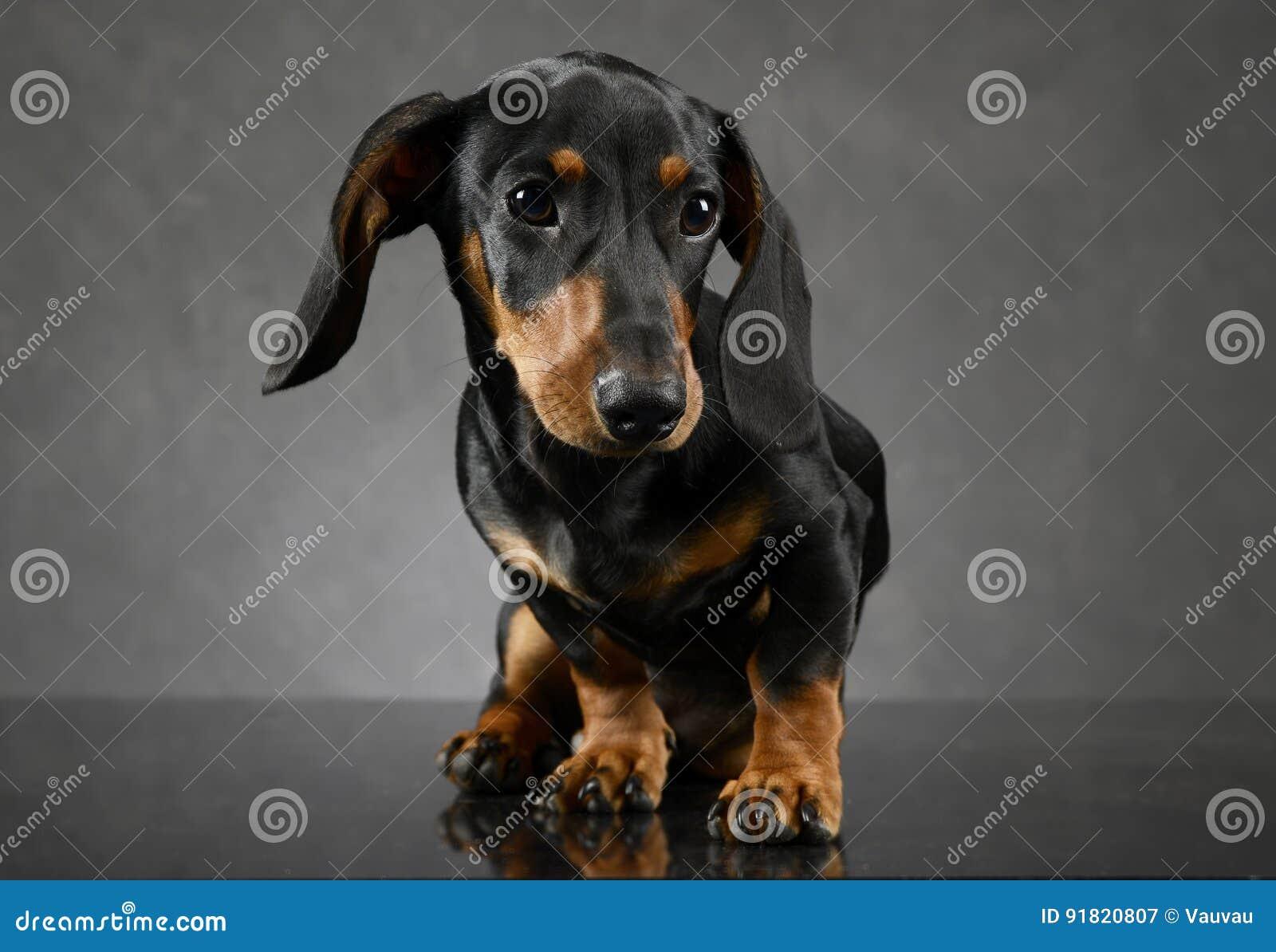 Retrato Del Perro Basset Del Perrito Del Pelo Corto En Fondo