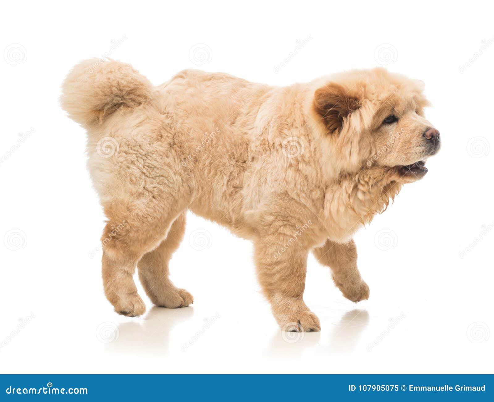 Retrato del perro chino de perro chino del perro