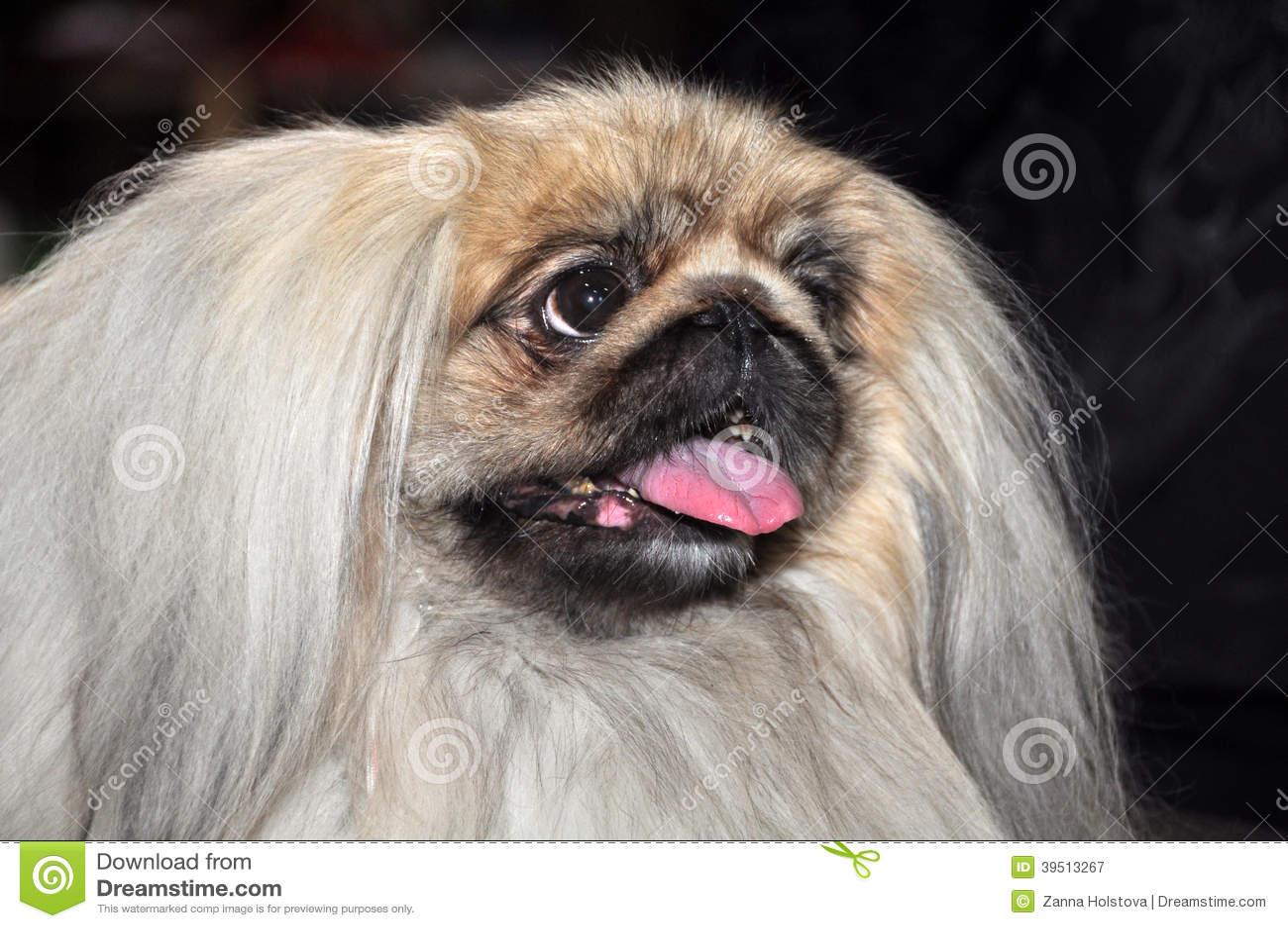 Retrato del perro del pekinés