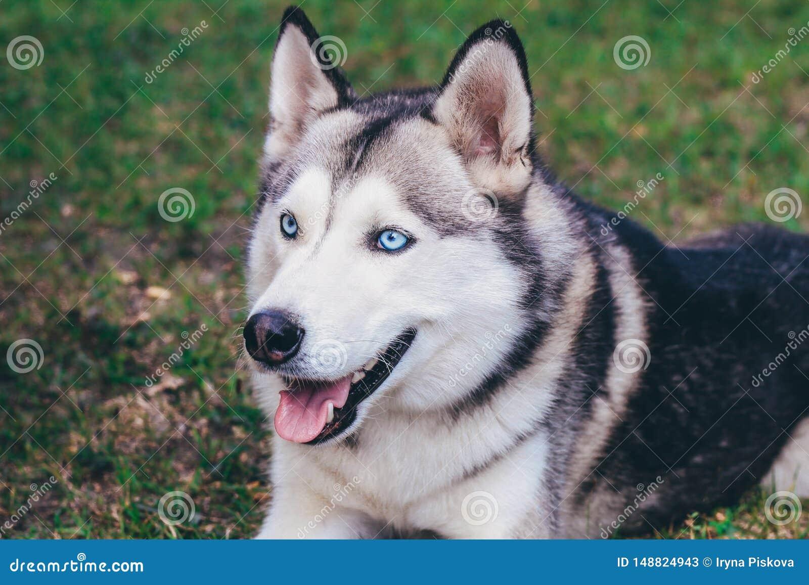 Retrato del perro esquimal siberiano