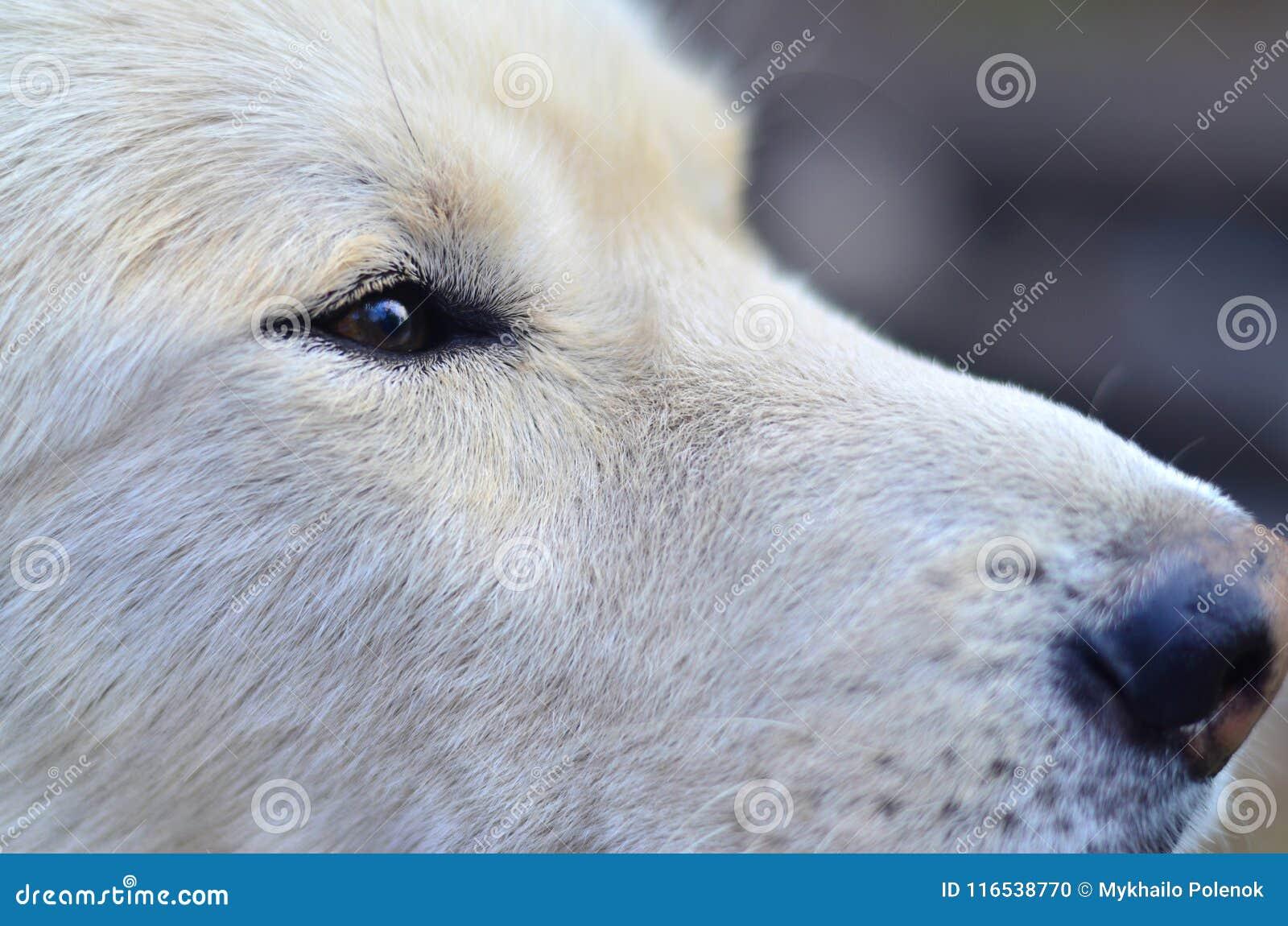 Retrato del perro fornido del samoyedo siberiano blanco con heterochromia un fenómeno cuando los ojos tienen diversos colores en