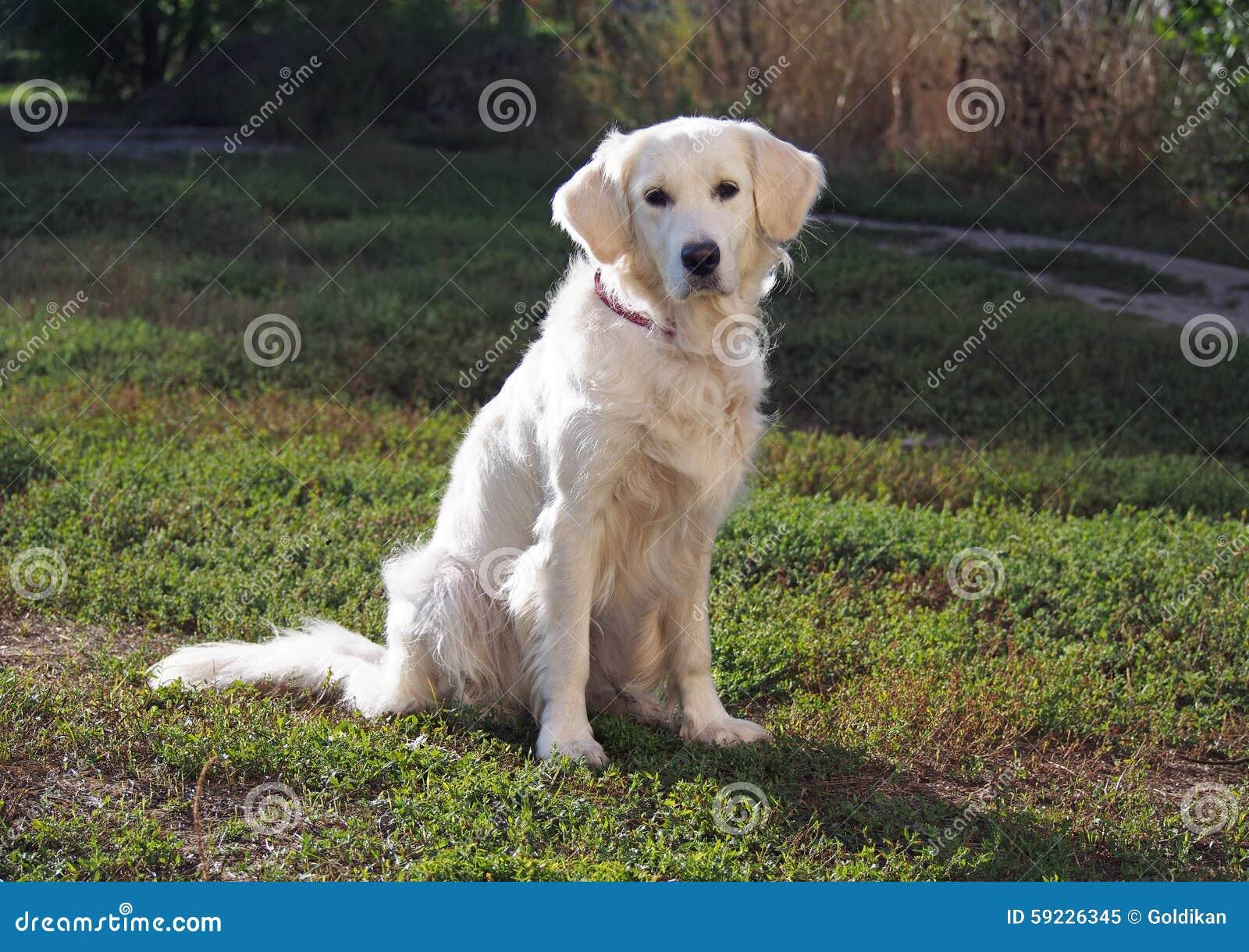 Retrato del perro joven del golden retriever